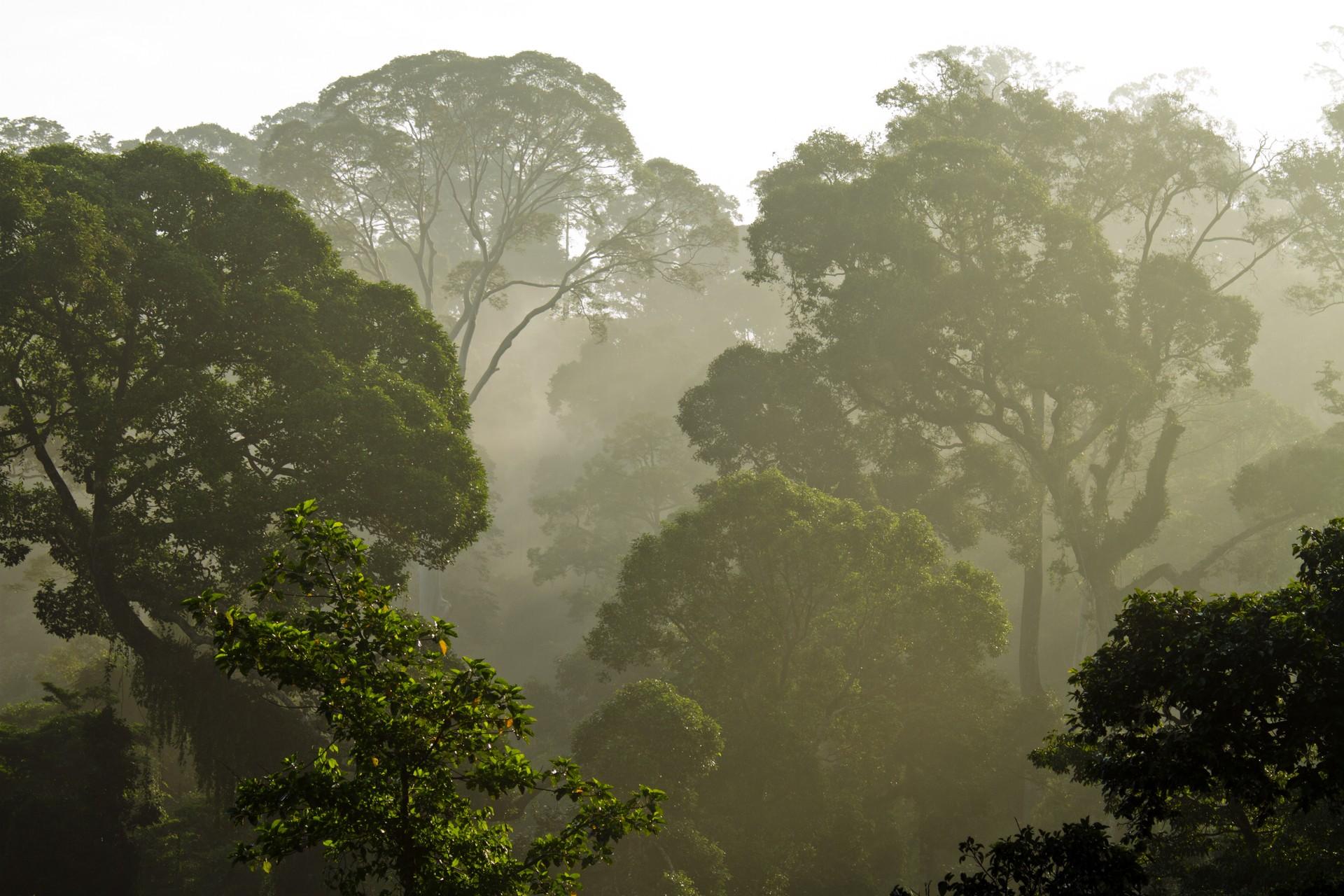 The rainforest canopy of the Danum Valley, Borneo