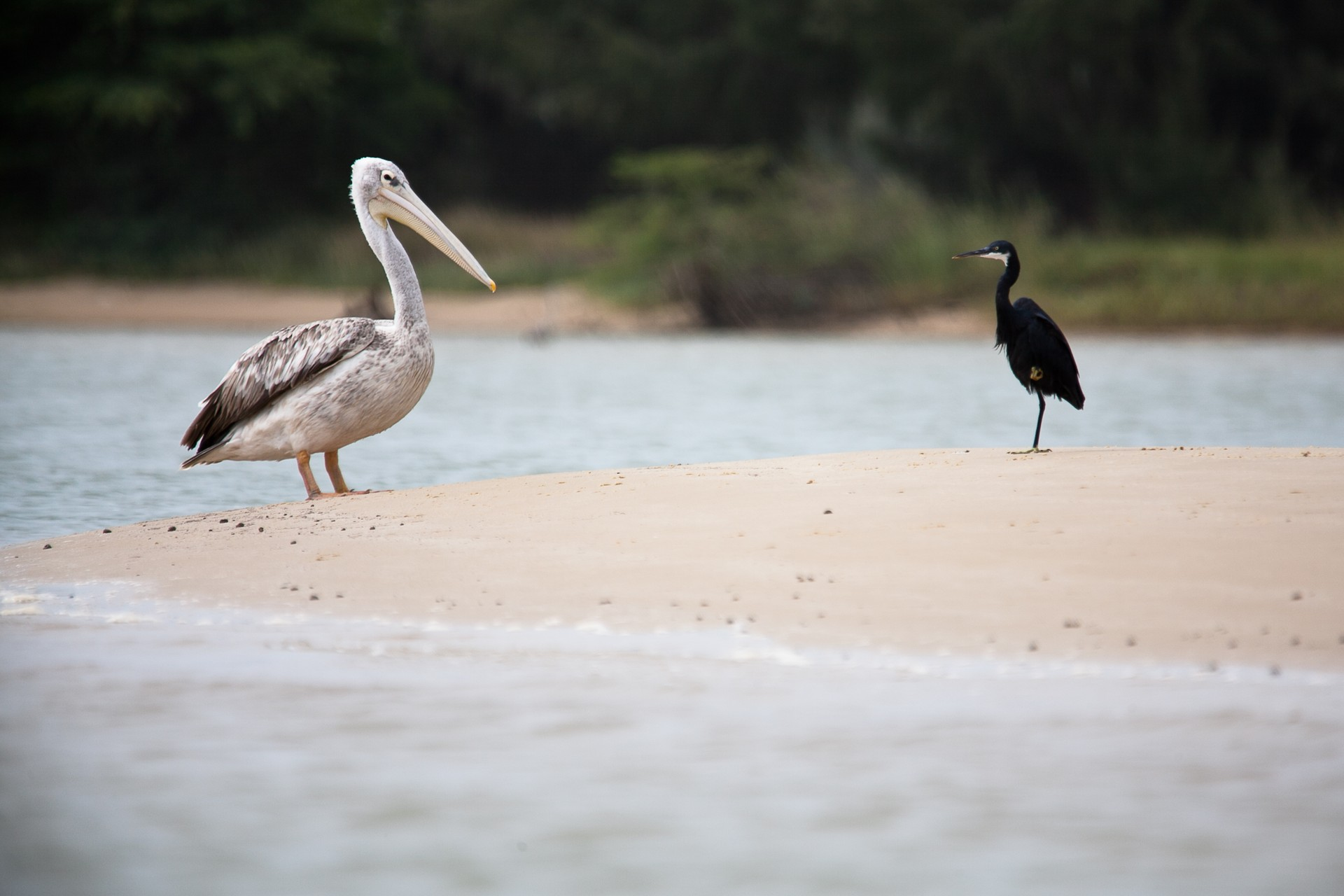 Pelican and egret on Langue de Barbarie sandbar