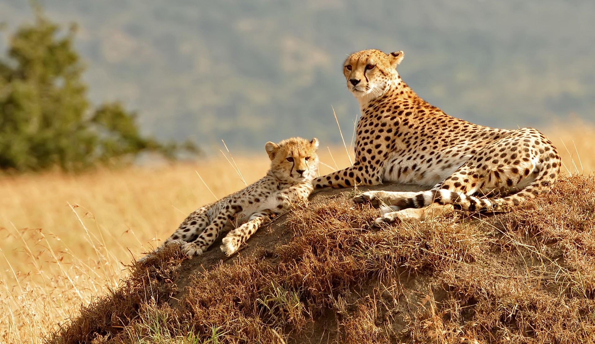 Cheetahs relaxing in the Masai Mara reserve