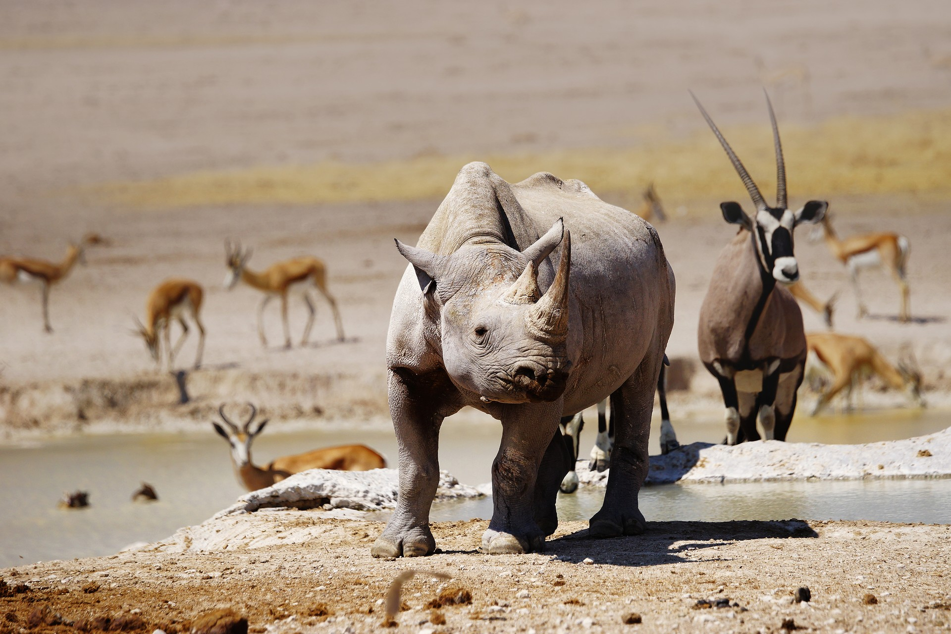 Black Rhino at Namibia watering hole