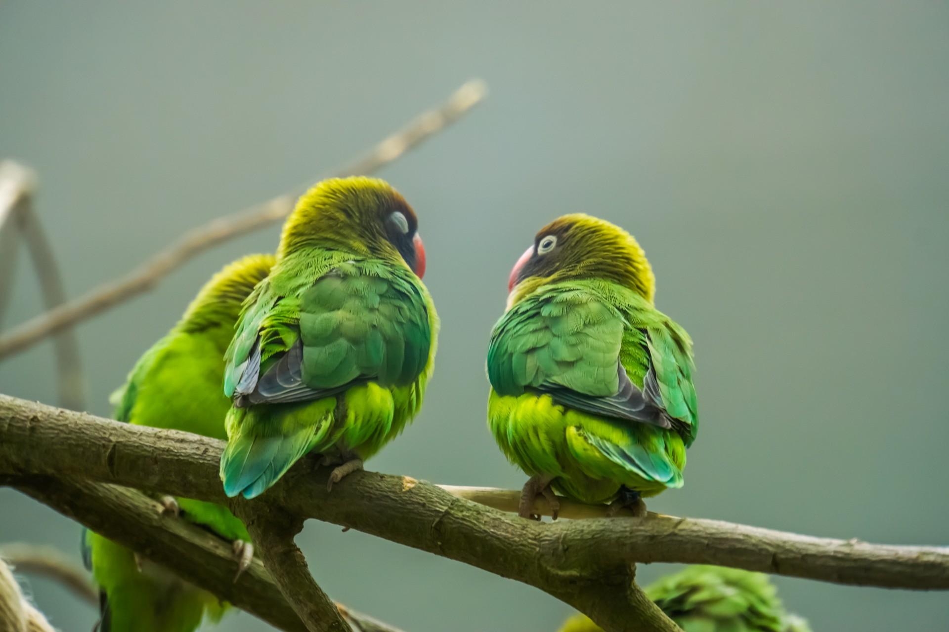 Wildlife of Zambia: Black-cheeked lovebirds