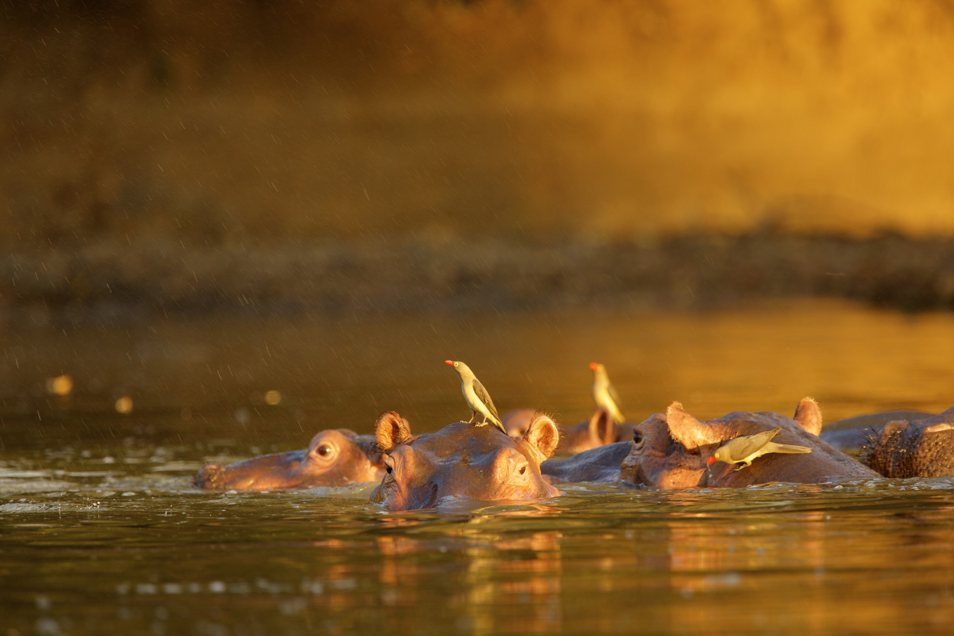 Zimbabwe's best natural attractions: Hippos & Oxpeckers