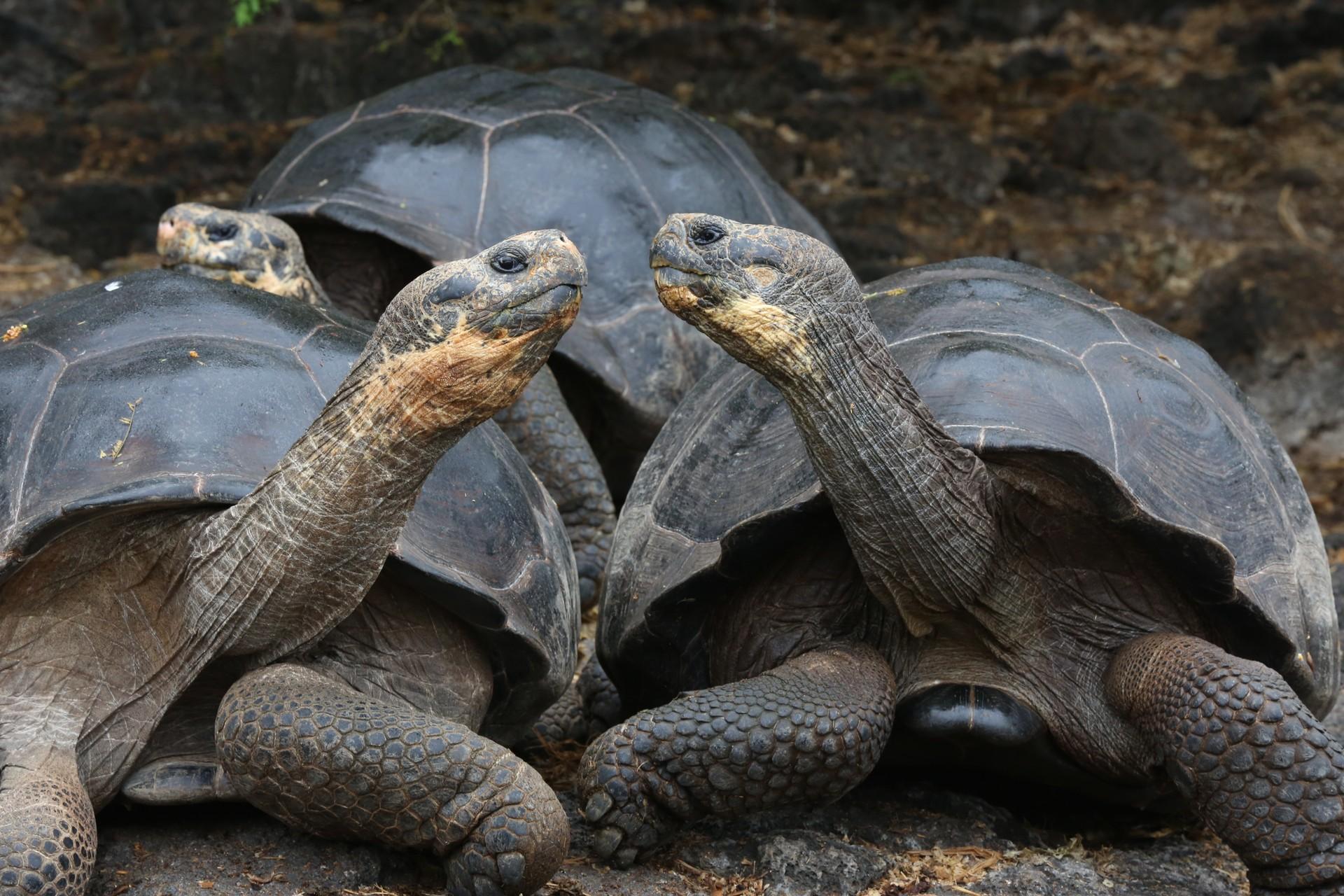 Giant Galapgos Tortoises