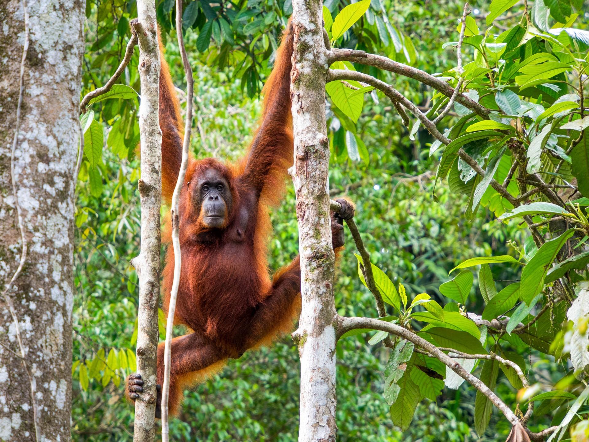 wild Orangutan in Sumatra