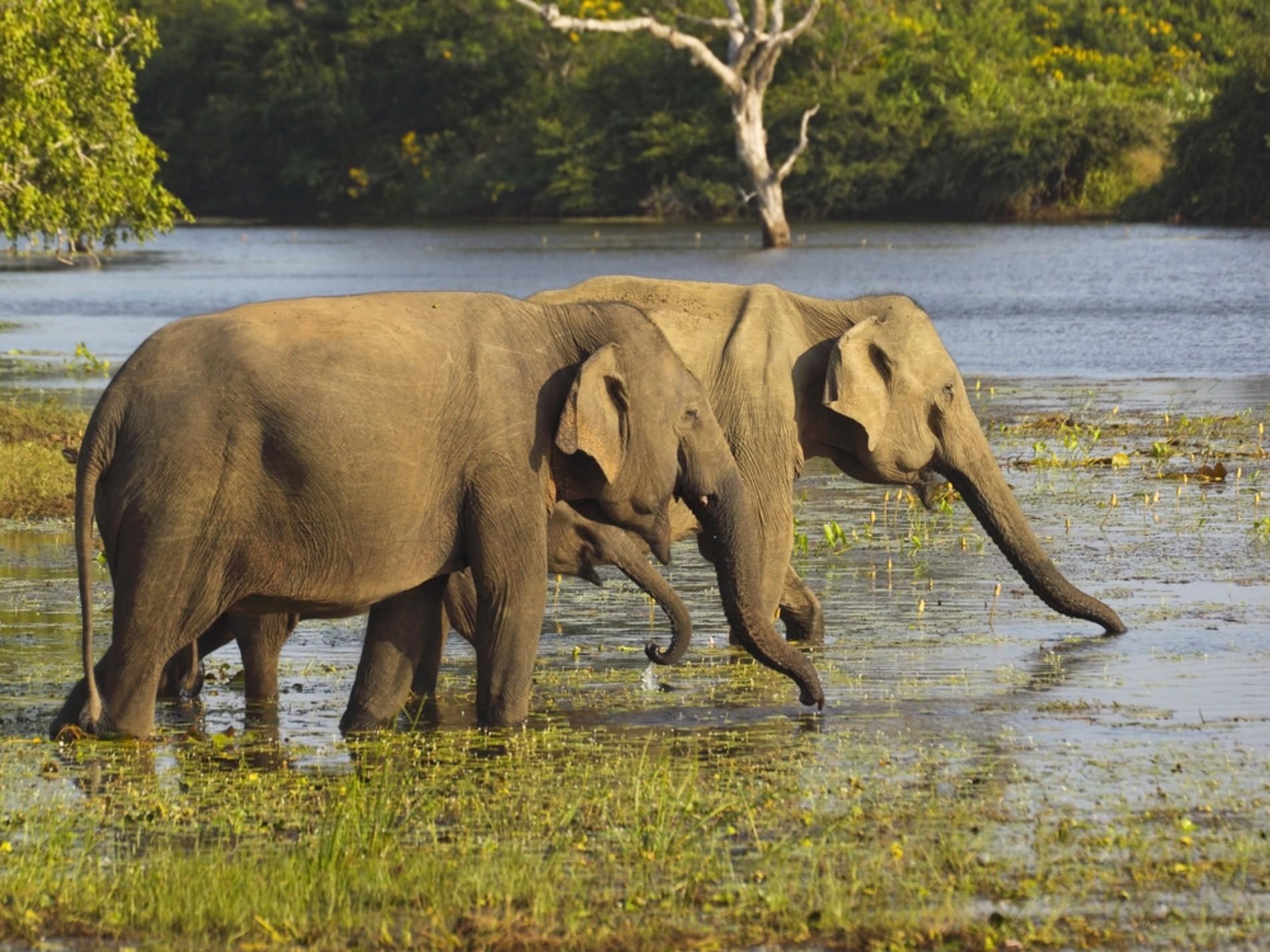 Sri Lanka holidays: Elephants grazing in Yala