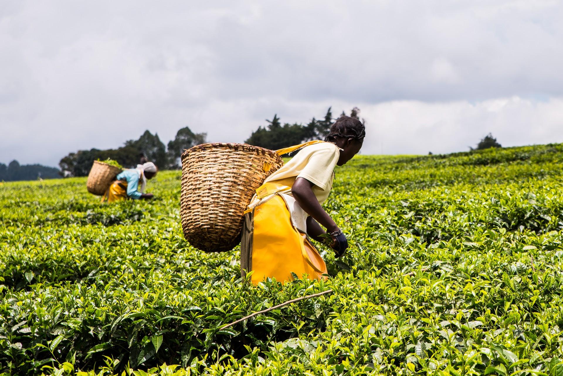 Tea pickers in Kenya