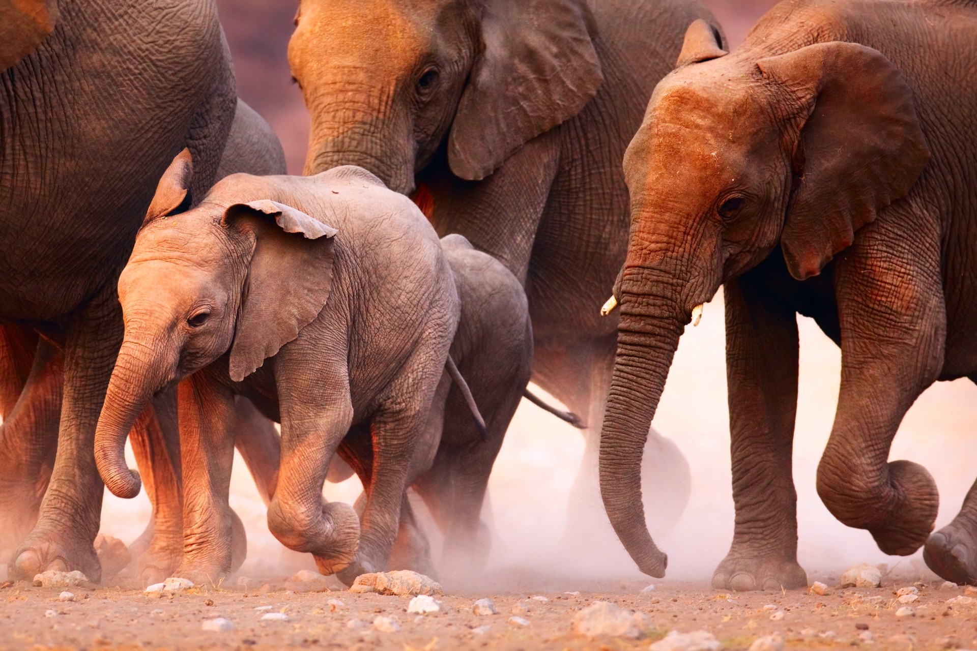 A herd of elephants walk through Etosha National Park, Namibia