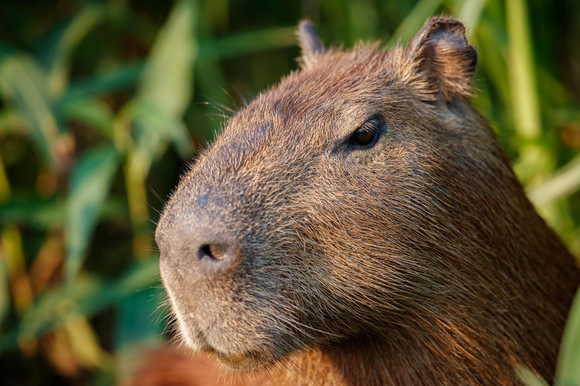 Capybara in Los Llanos, Colombia