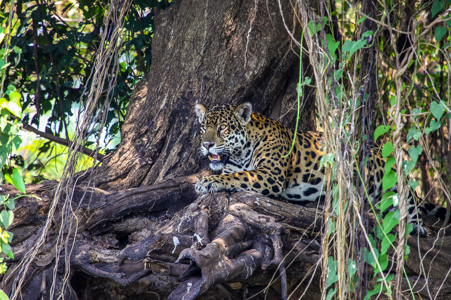 Jaguar relaxing on banks in the Pantanal, Brazil