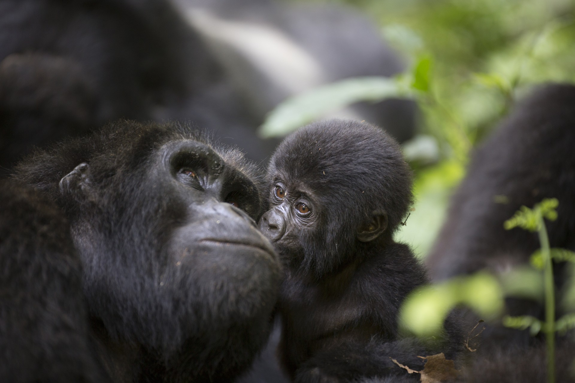 A mother and baby gorilla in Rwanda