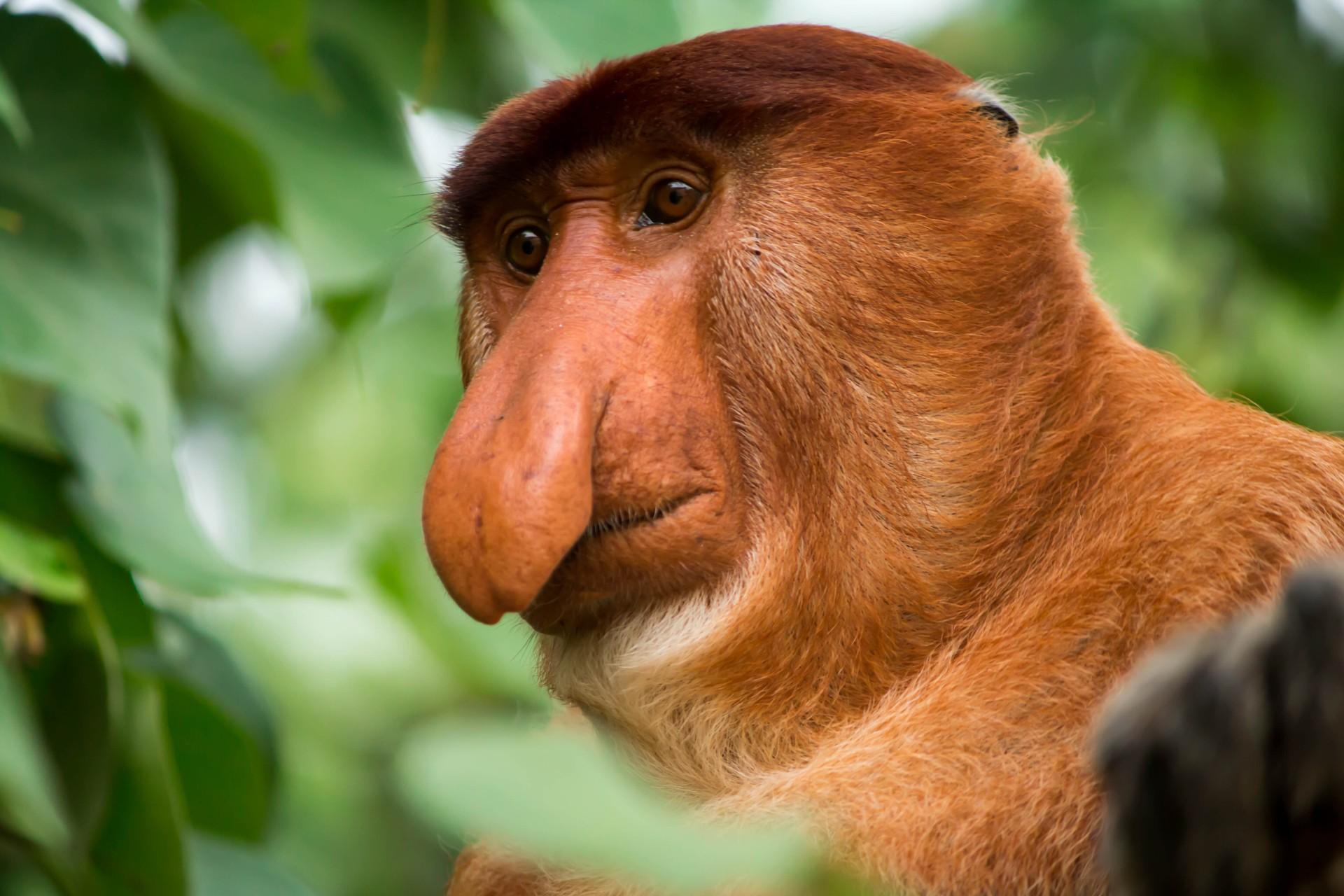 Borneo holidays: Proboscis monkey in Kinabalu