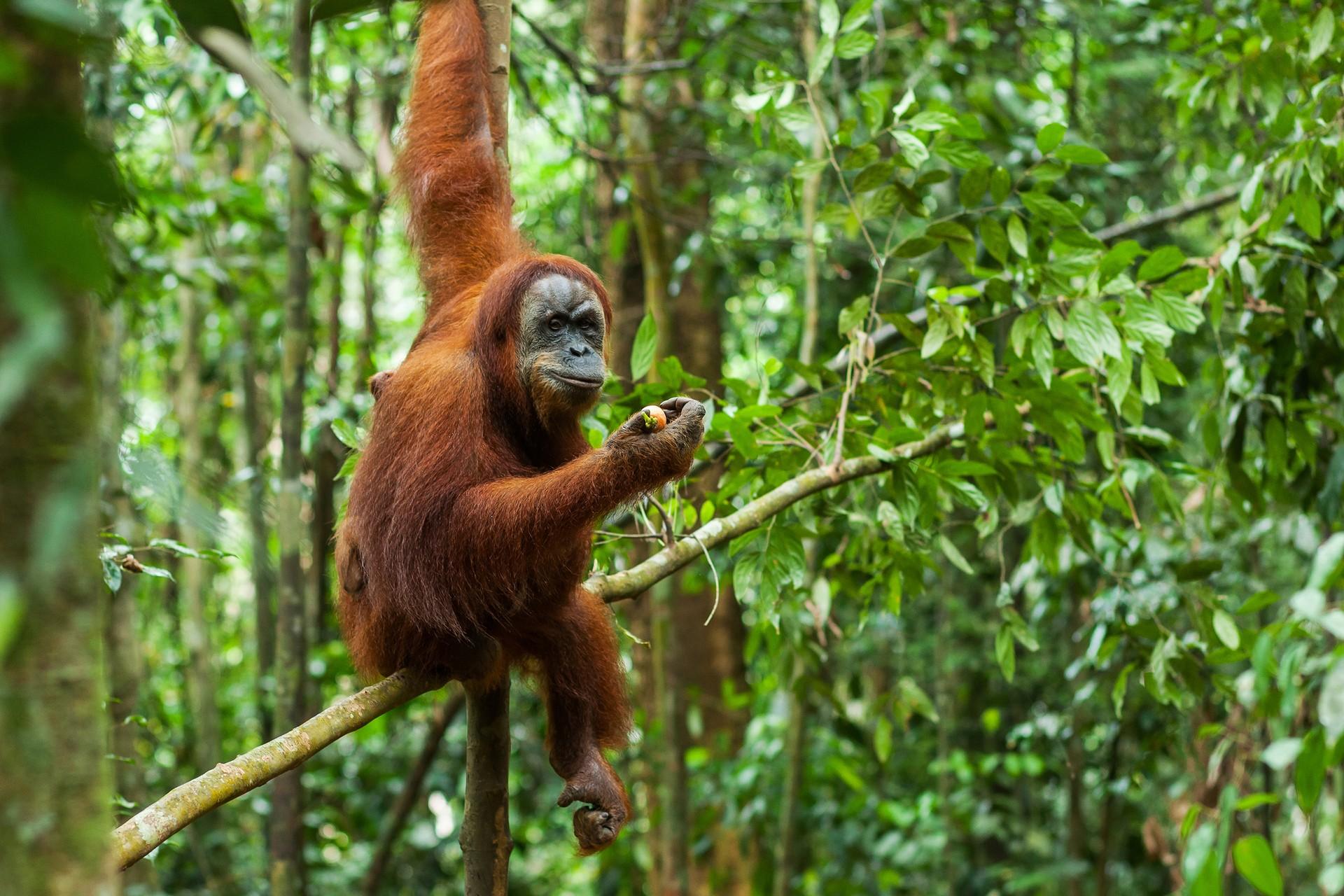 An orangutan sits on a branch in the Gunung Leuser National Park