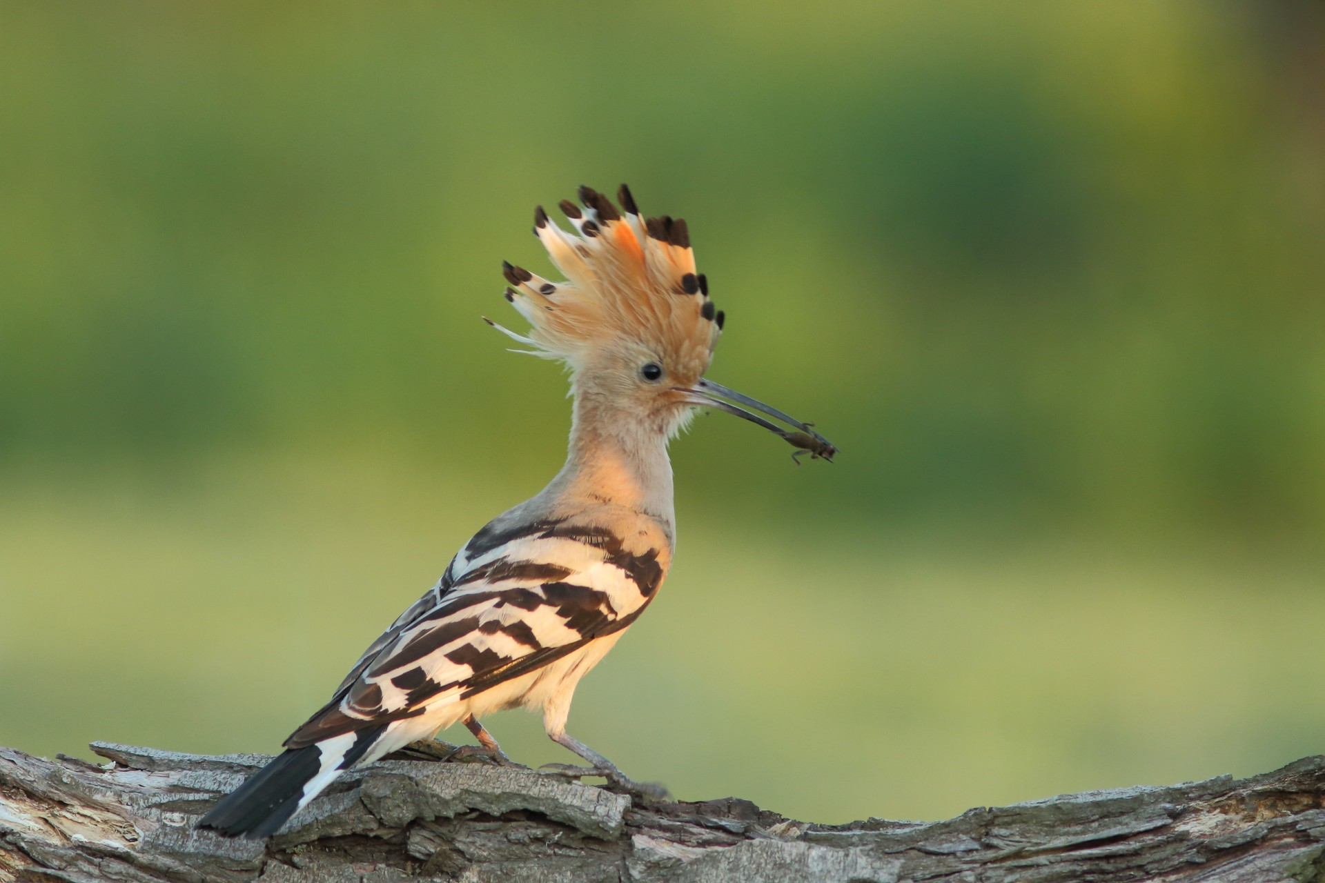 A colourful hoopoe bird found in Armenia's Syunik Province