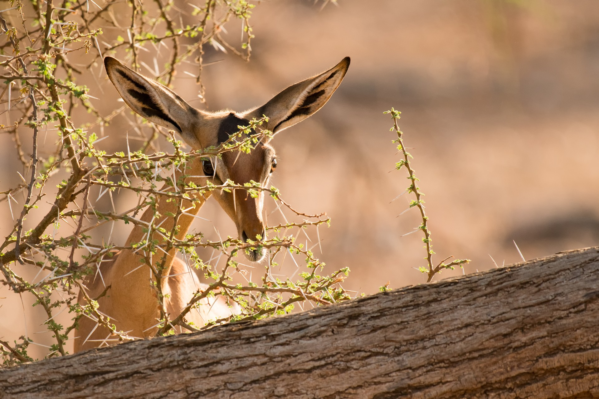 Gerenuk grazing in Kenya