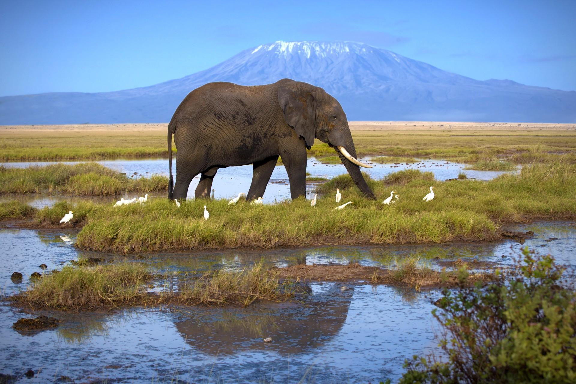 Kilimanjaro behind bull elephant, Tanzania