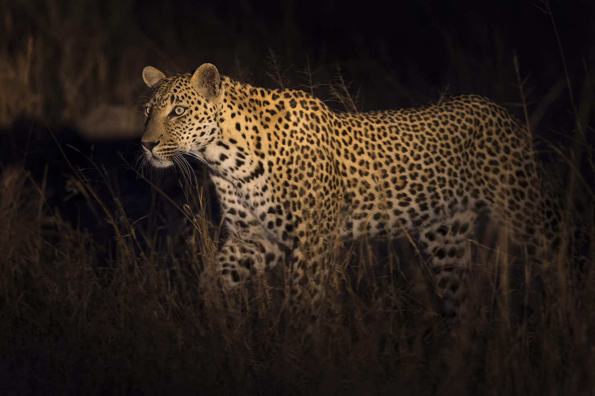 Leopard on night safari