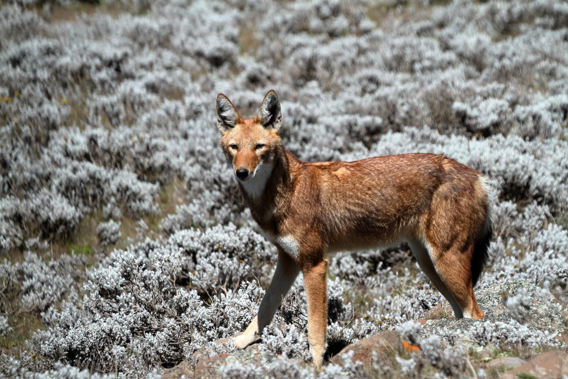 Ethiopian wolf in the Bale Mountains