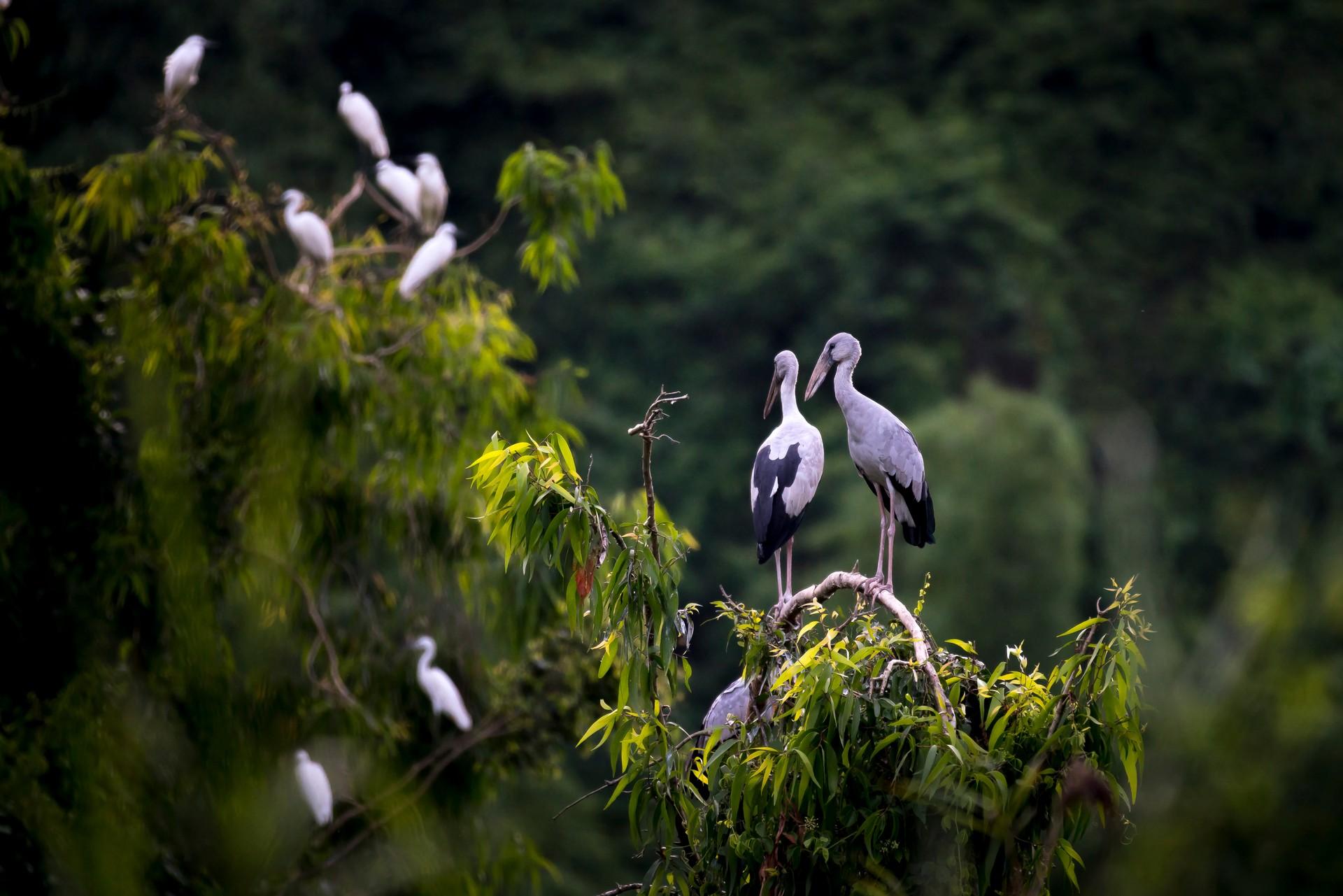 Storks in Thung Nham Bird Garden, Vietnam