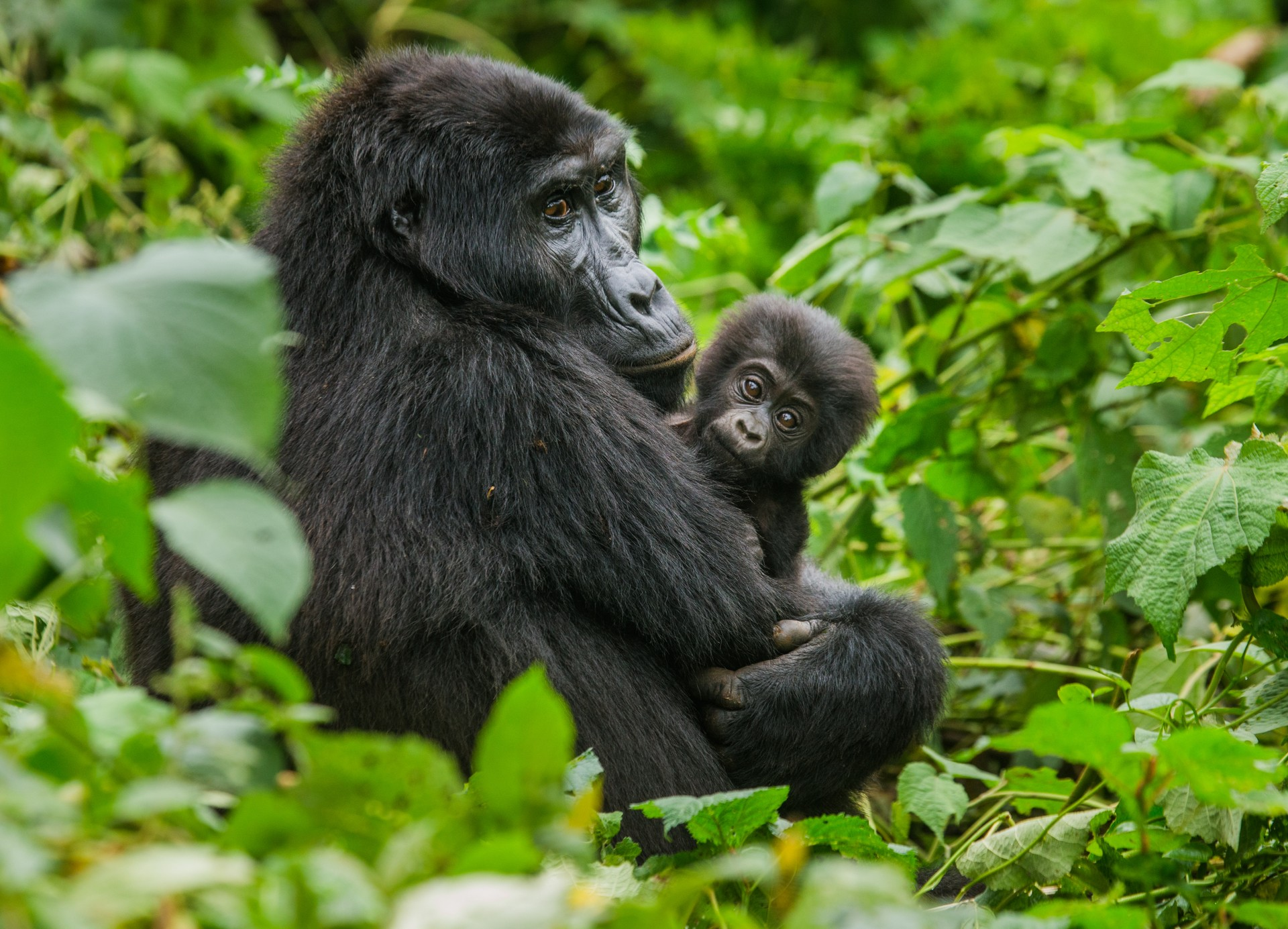 Gorilla mother and baby in Uganda
