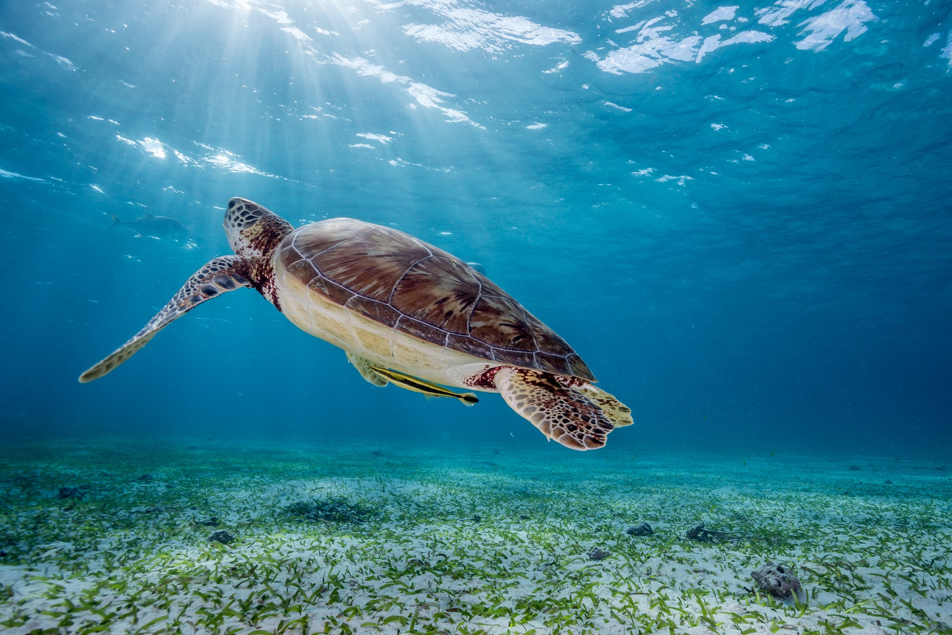 Sea turtle in Hol Chan Marine Reserve Belize