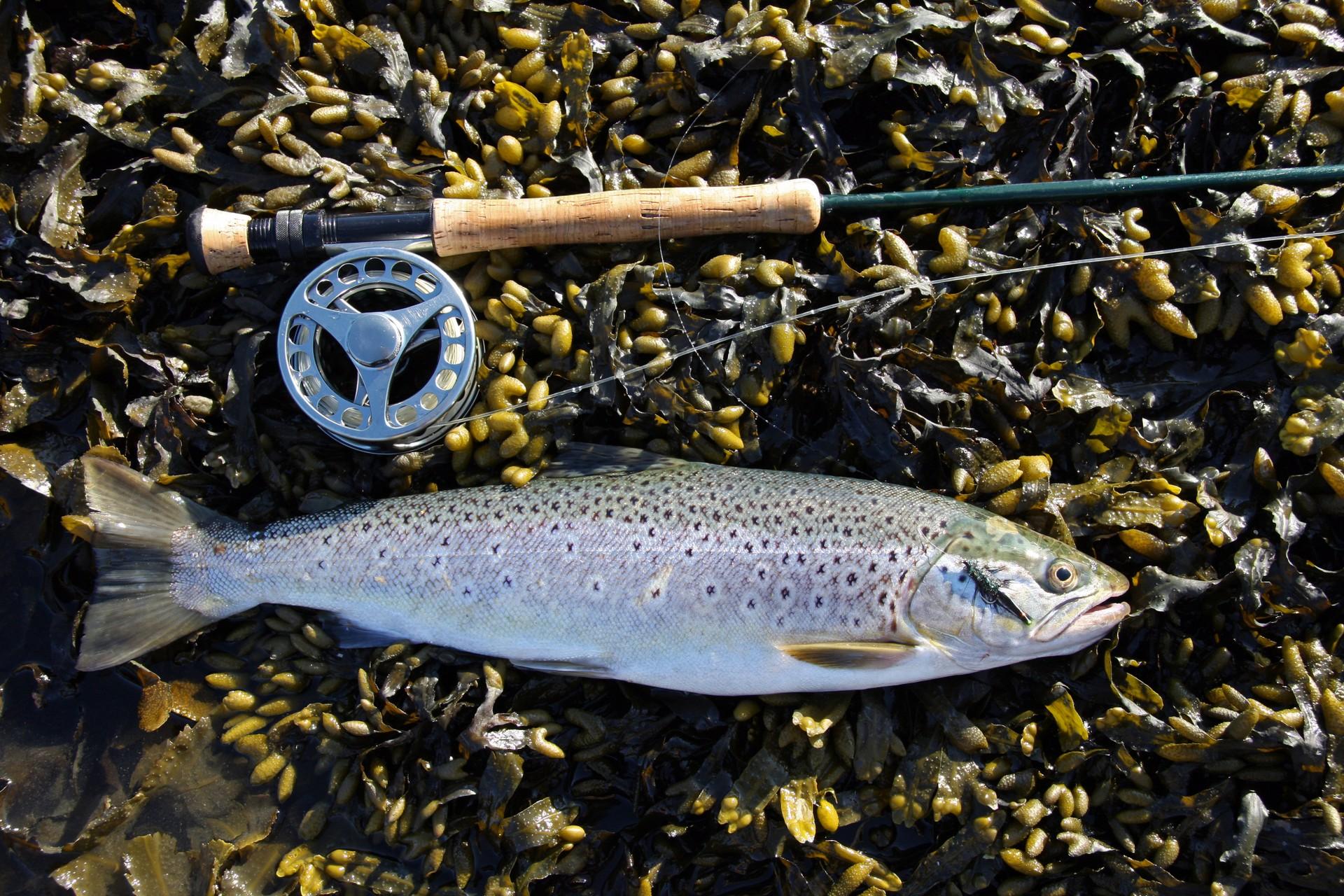 Sea trout in Falkland Islands