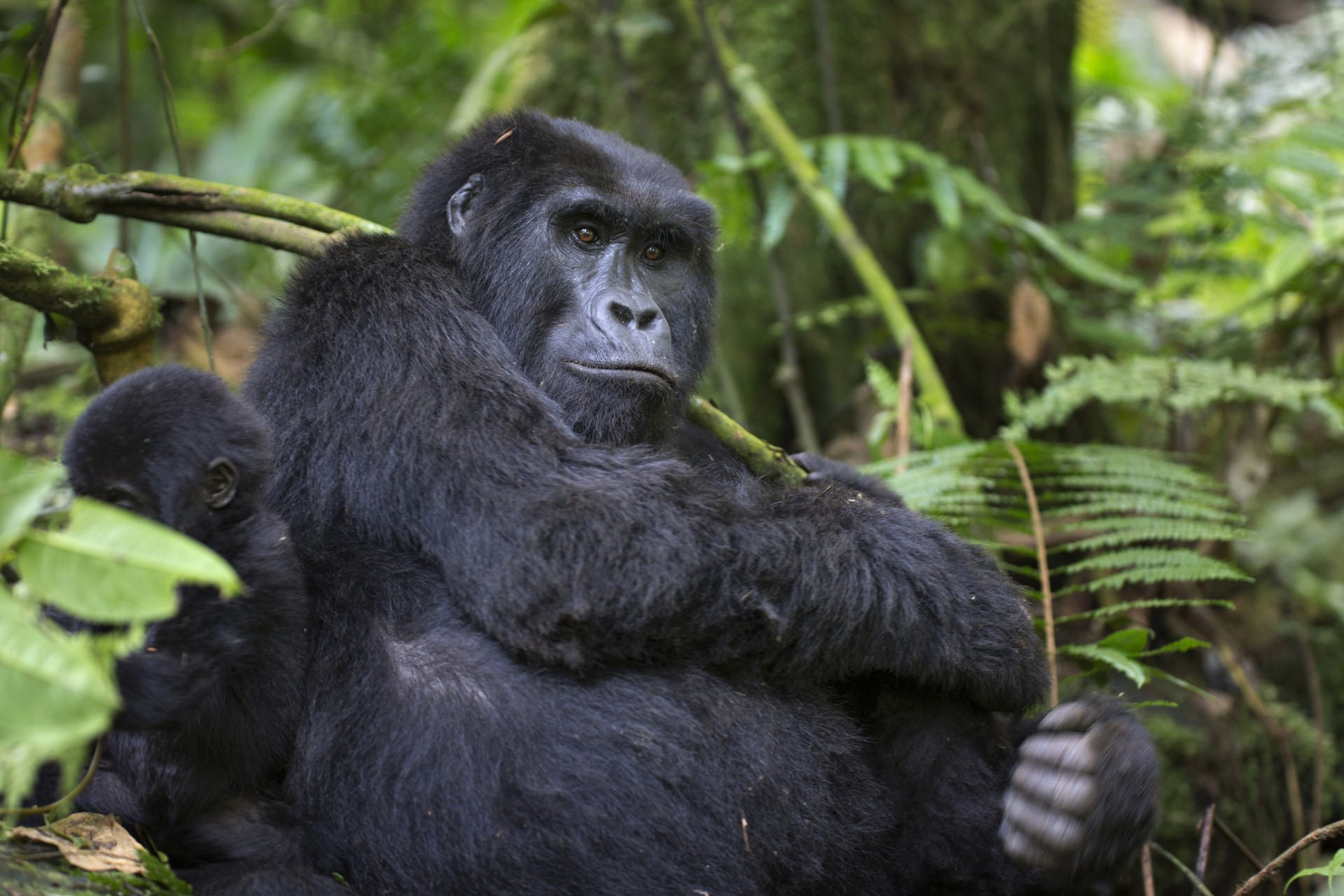 A gorilla in Volcanoes National Park, Rwanda