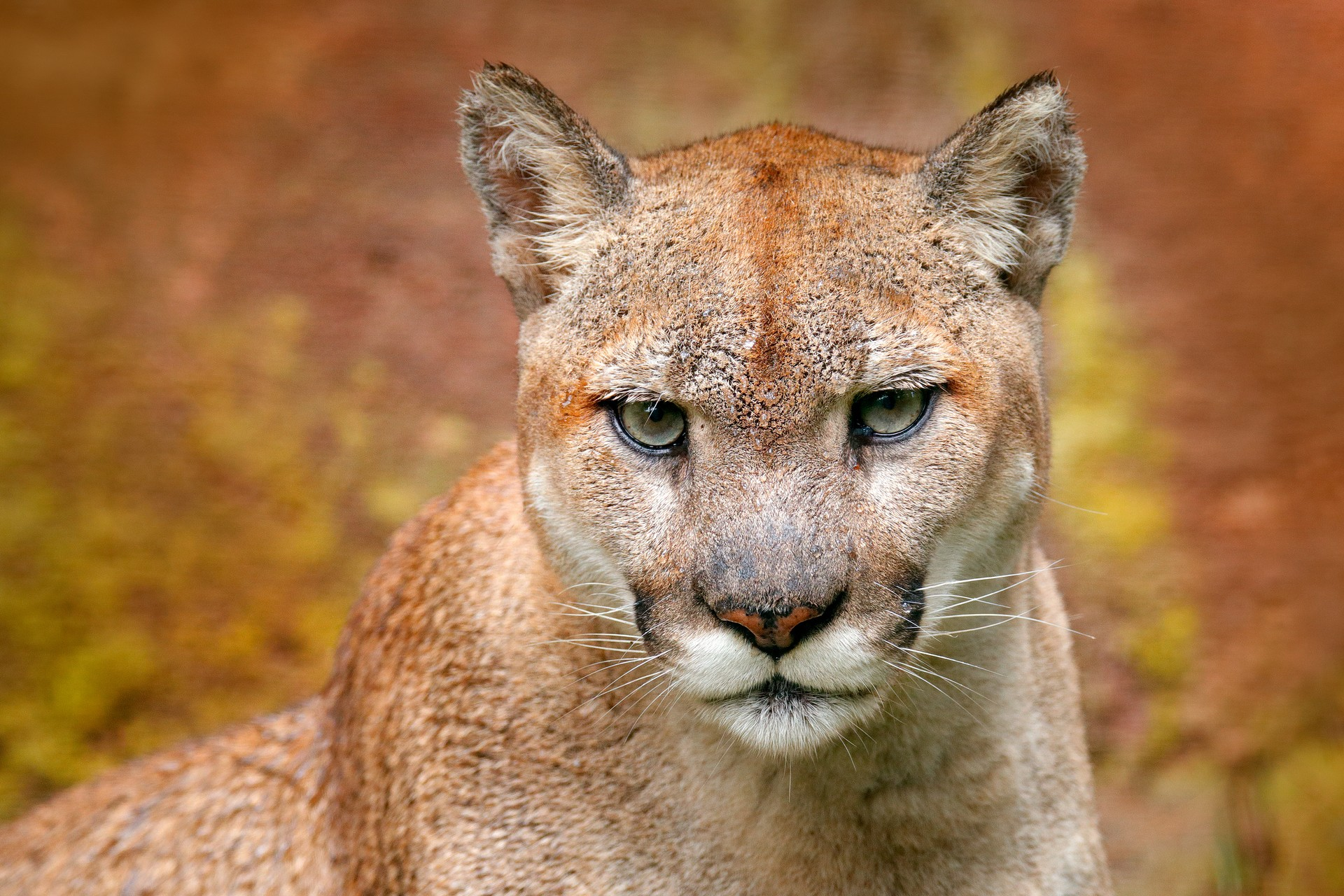 Puma in Chilean Pataonia portrait