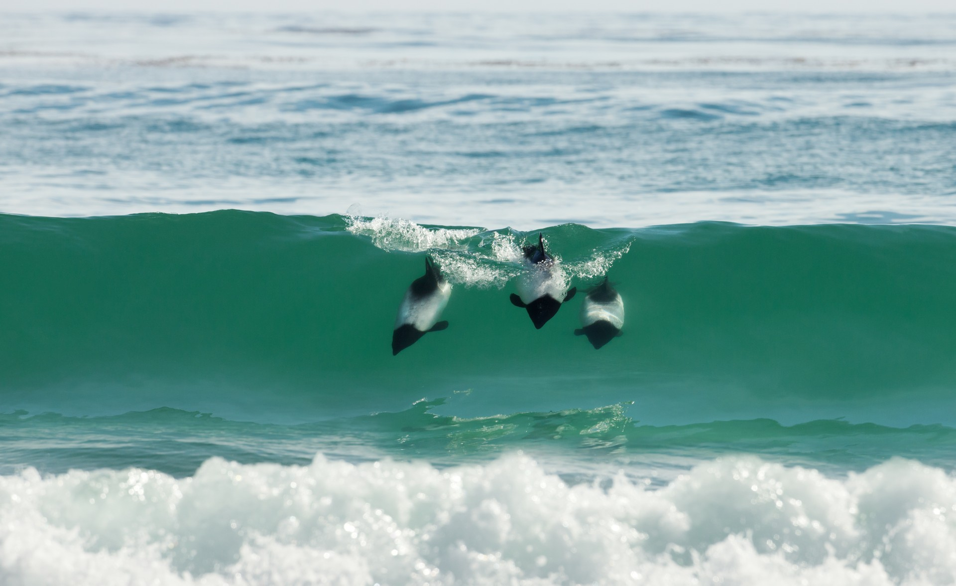 Commersons dolphins in Falkalnds