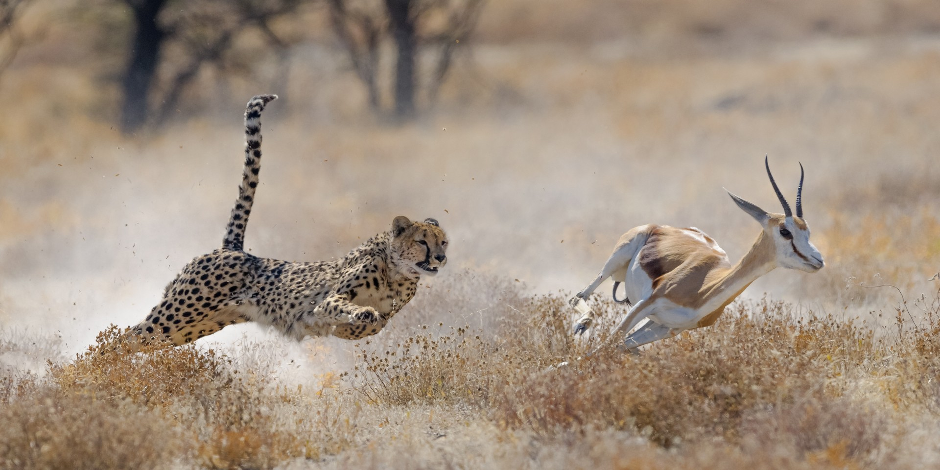 Cheetah hunting in Namibia