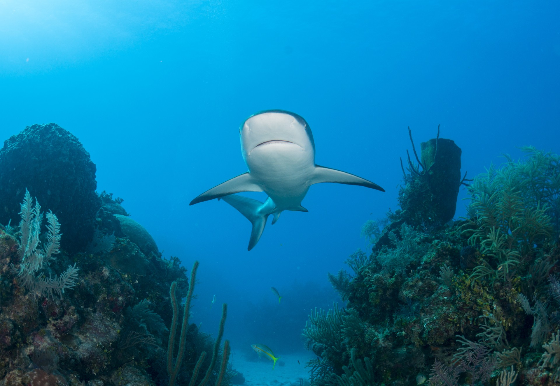 A Caribbean reef shark swims through the waters of the Jardins de la Reina