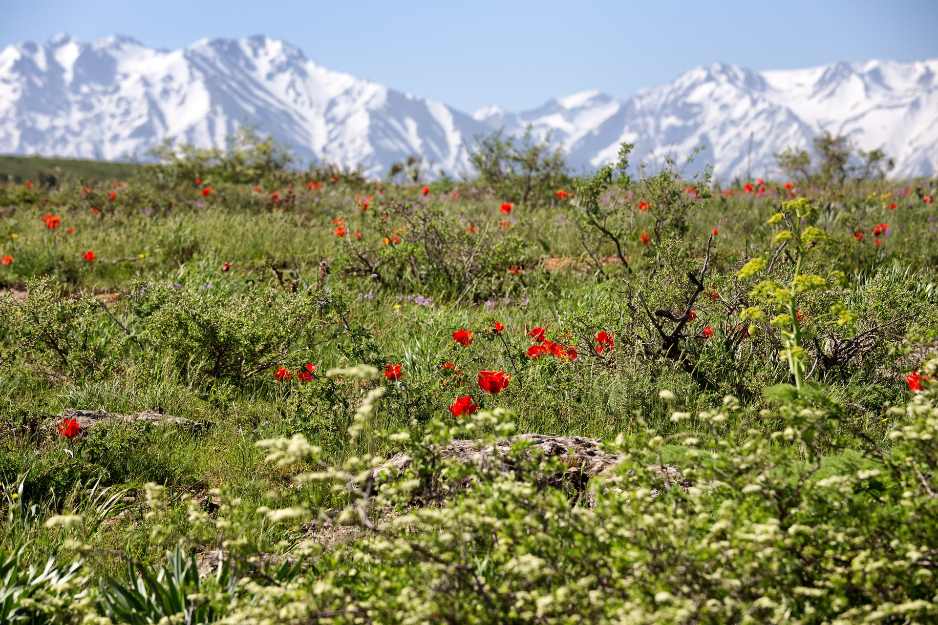 wild tulips in Kazakhstan