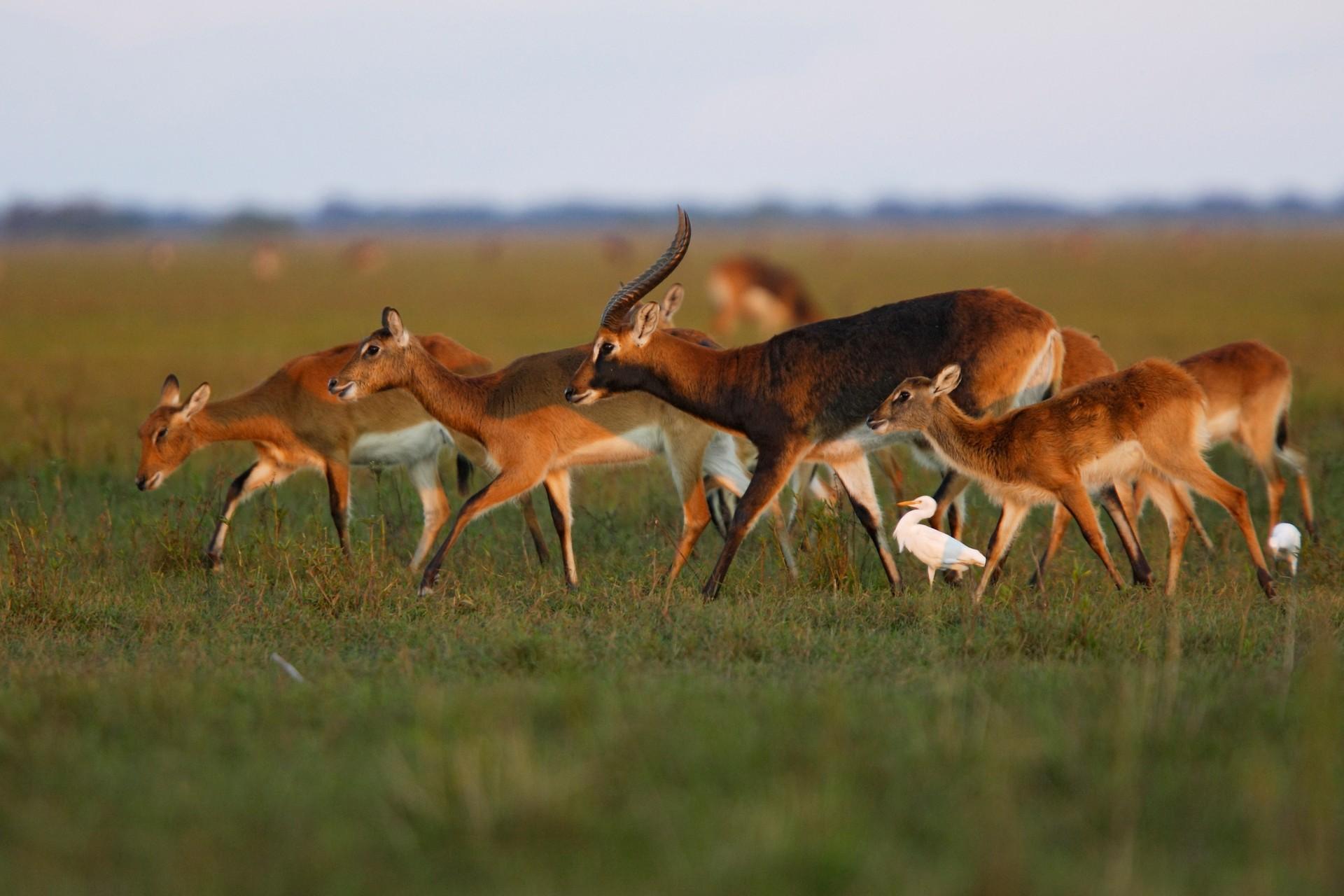 Wildlife of Zambia: Black Lechwe