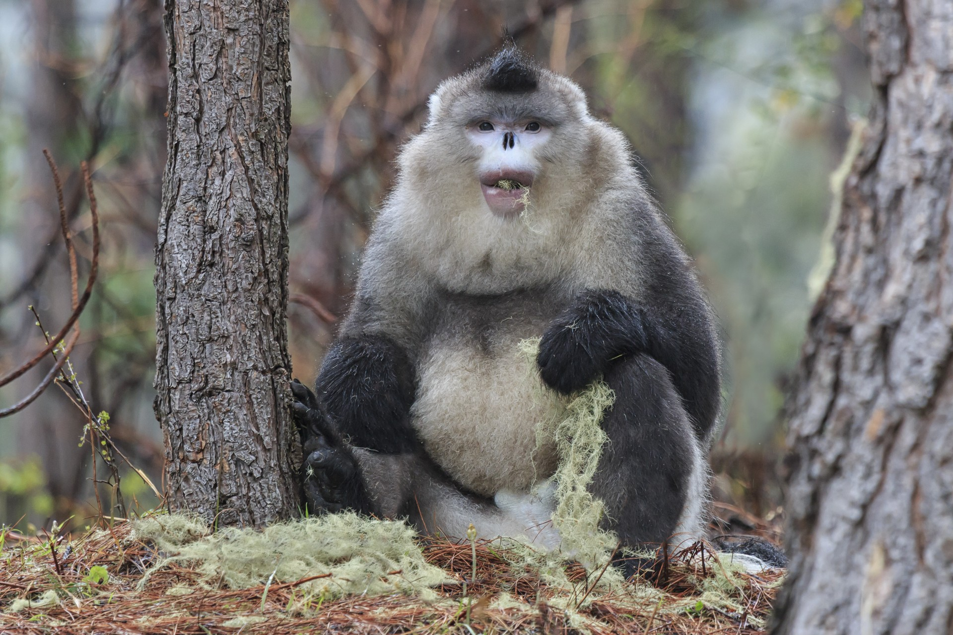 Black snub nosed monkey in China