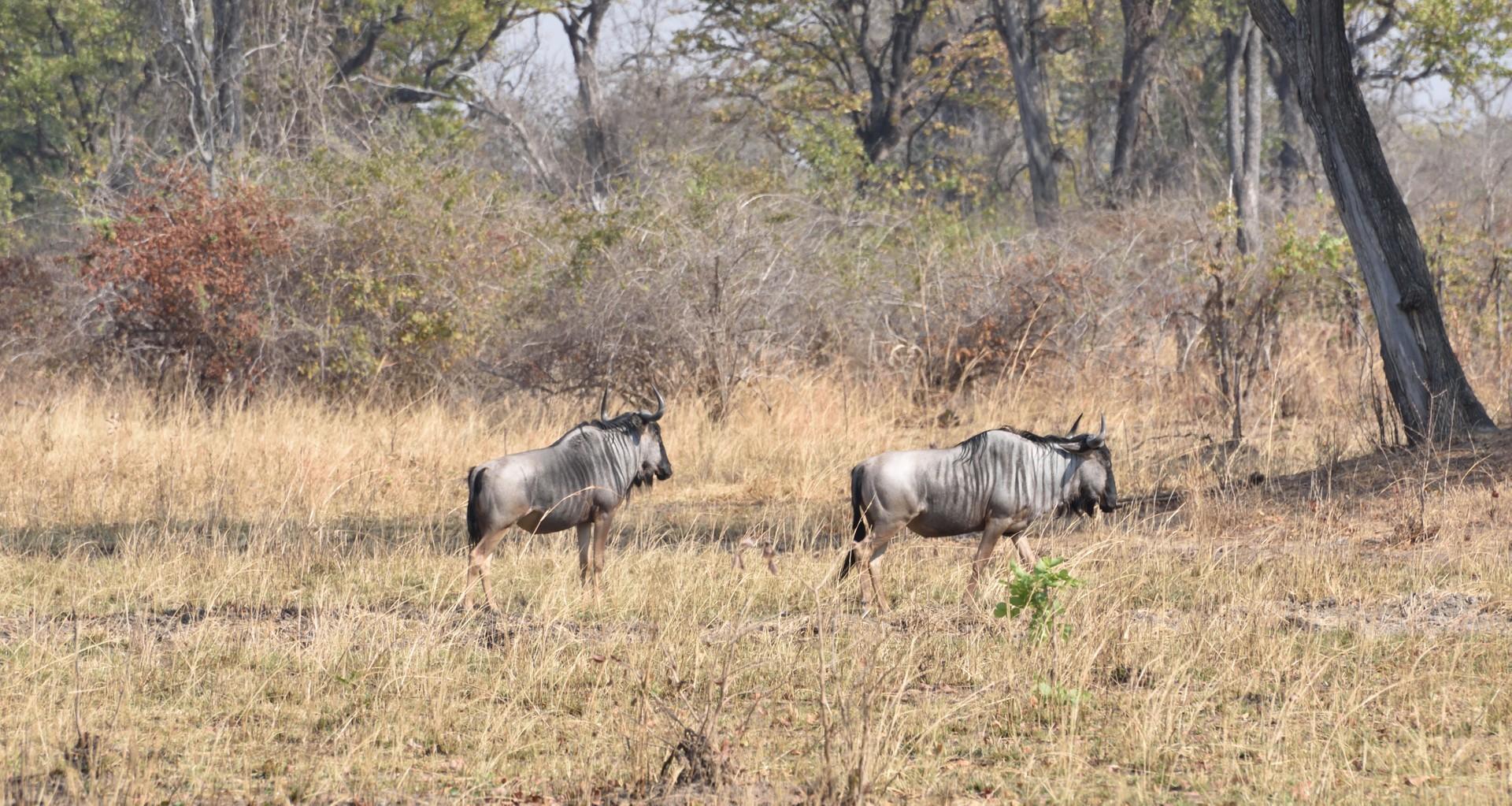 Wildlife of Zambia: Cookson's wildebeest