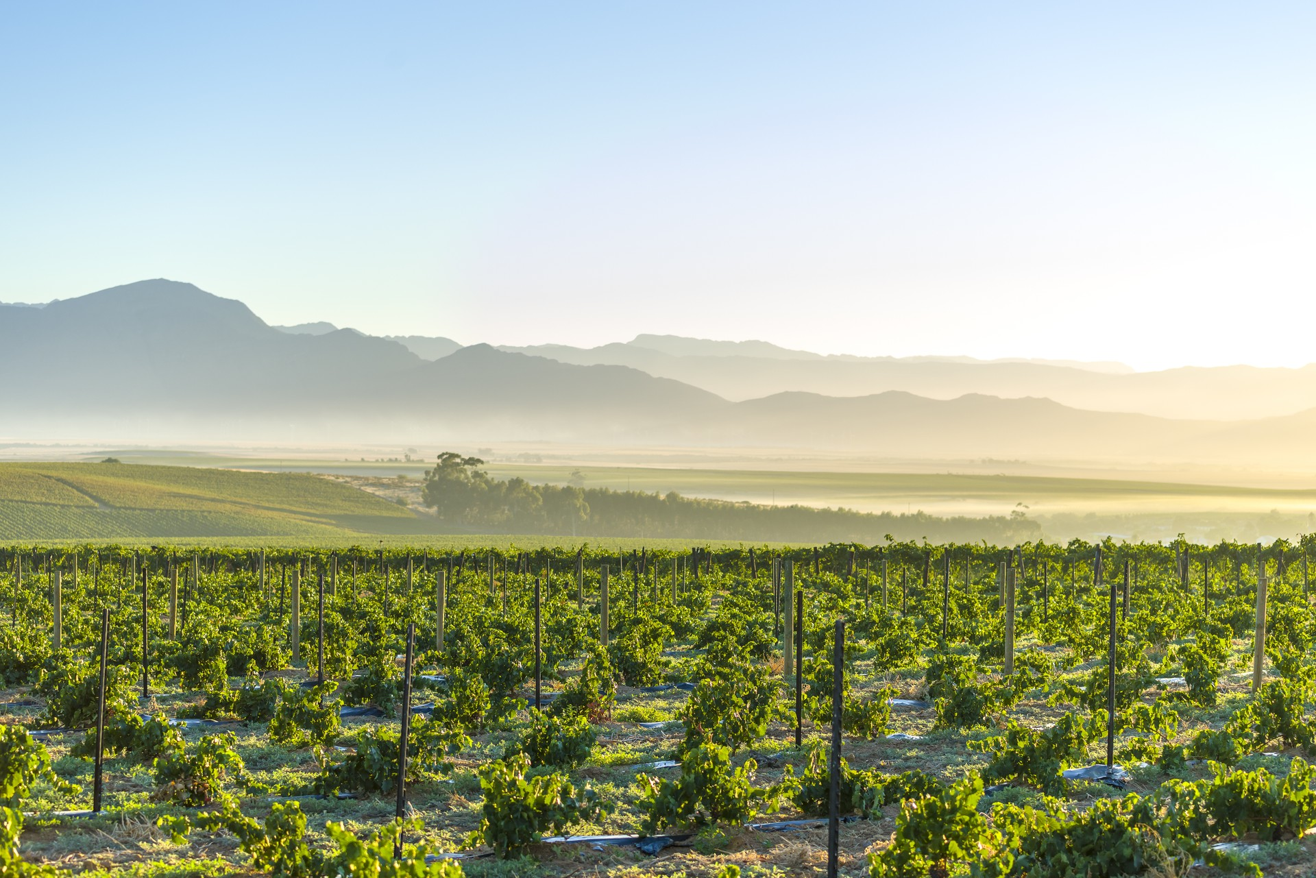 Sunrise over the vineyards of Stellenbosch