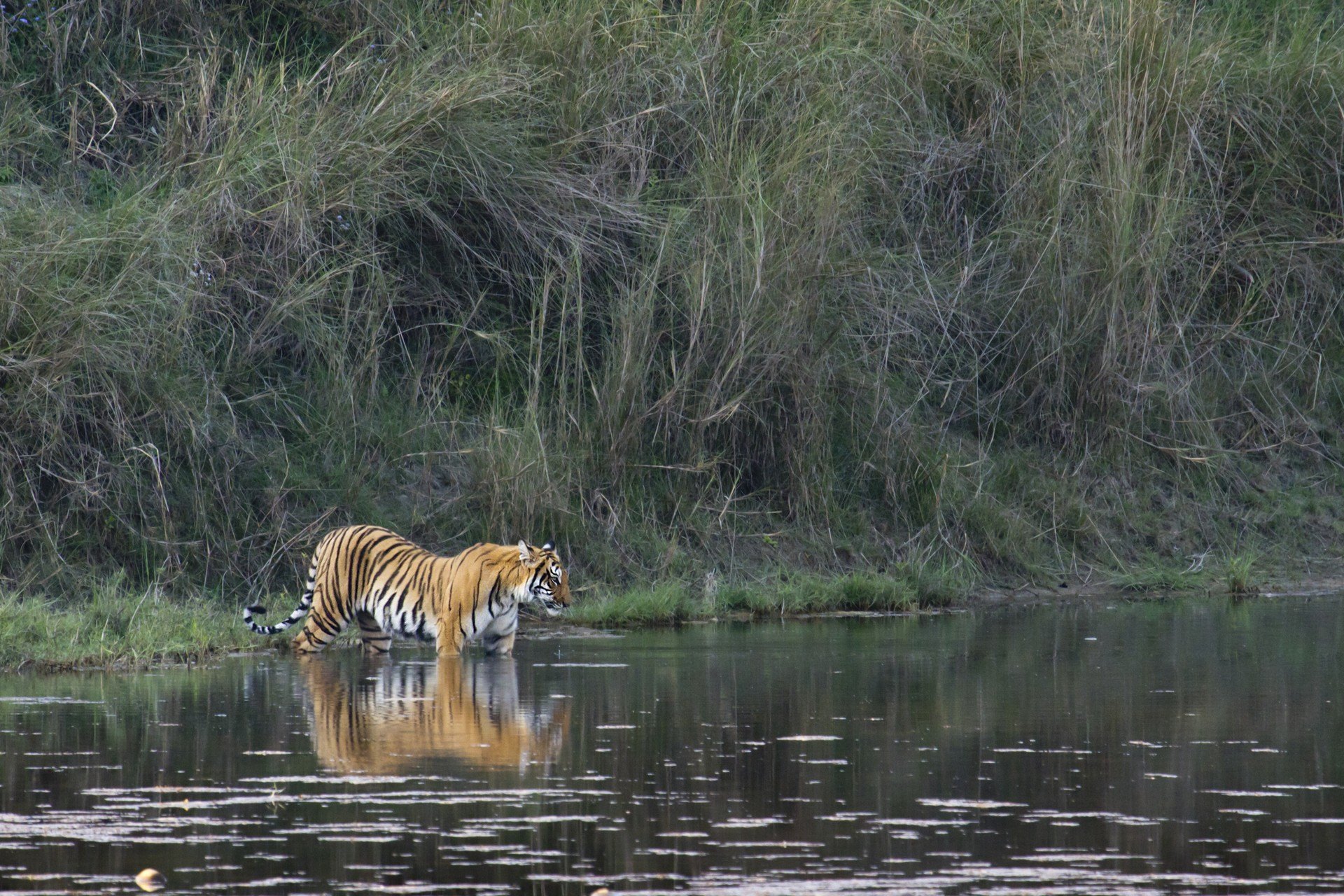 Bengal tiger in Chitwan National Park - Nepal