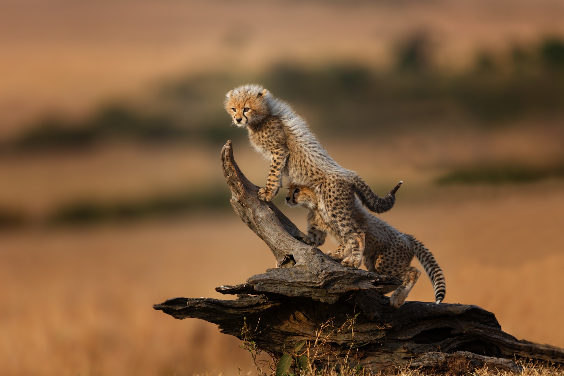 Cheetah cubs playing in Kenya