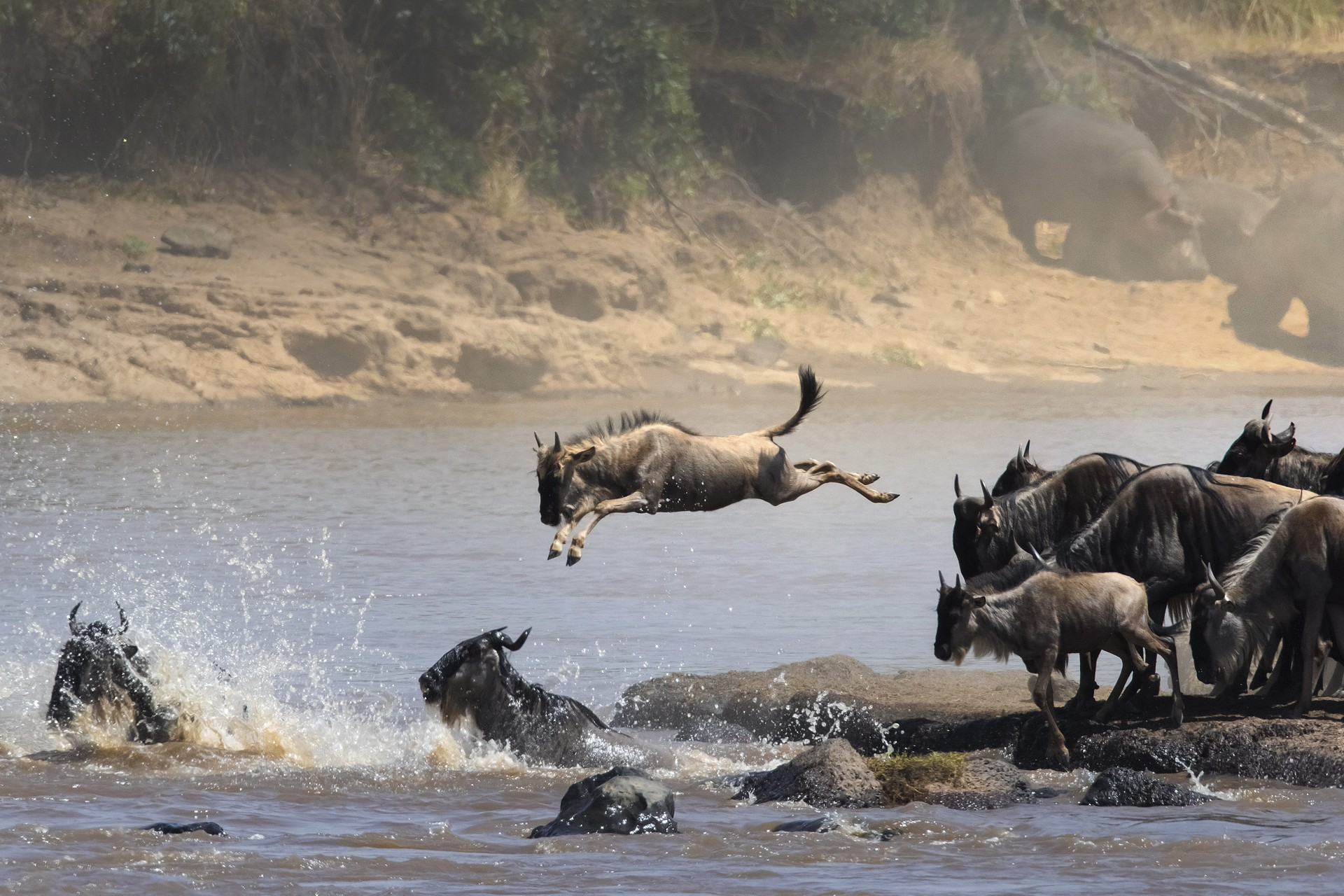 Wildebeest on great migration tanzania