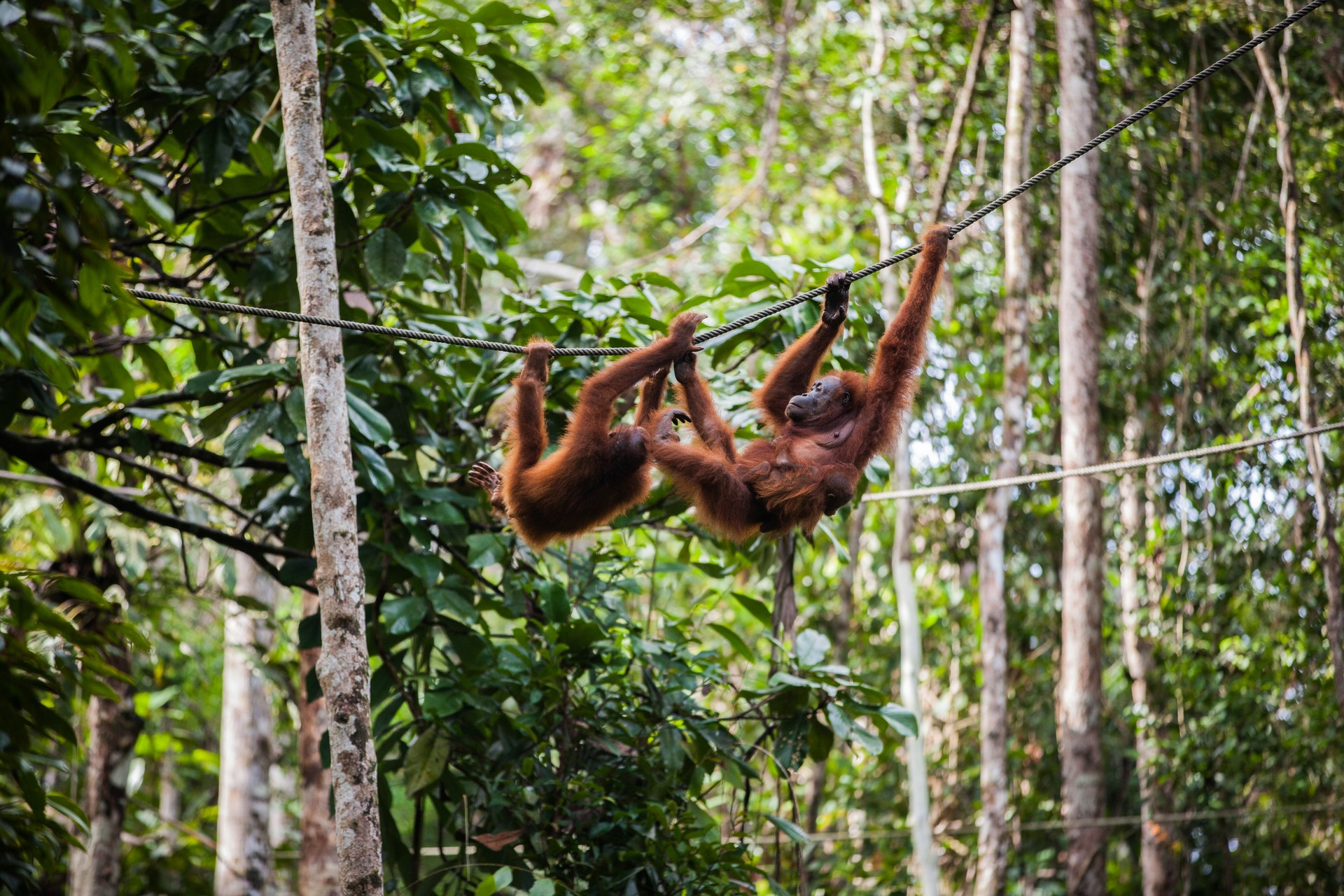 Two orangutans hang from a branch in the Gunung Leuser National Park
