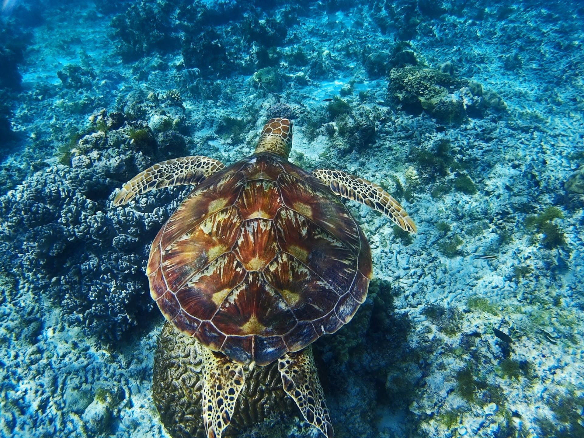 wild marine turtle in the Philippines