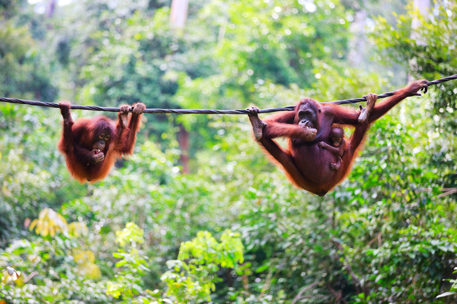 Borneo holidays: Orangutans in Sepilok Sanctuary