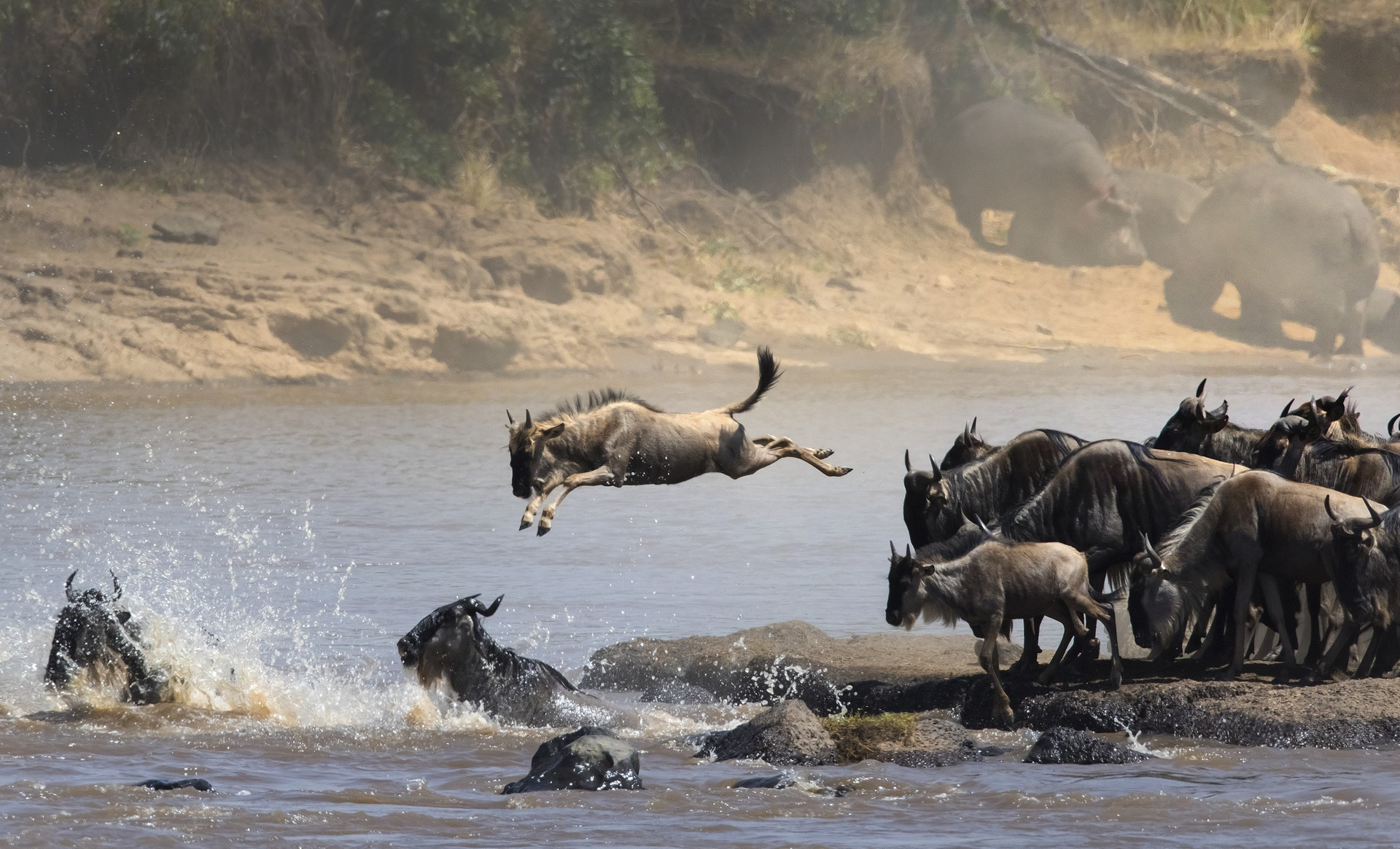 Wildebeest crossing the Mara River in the great migration`