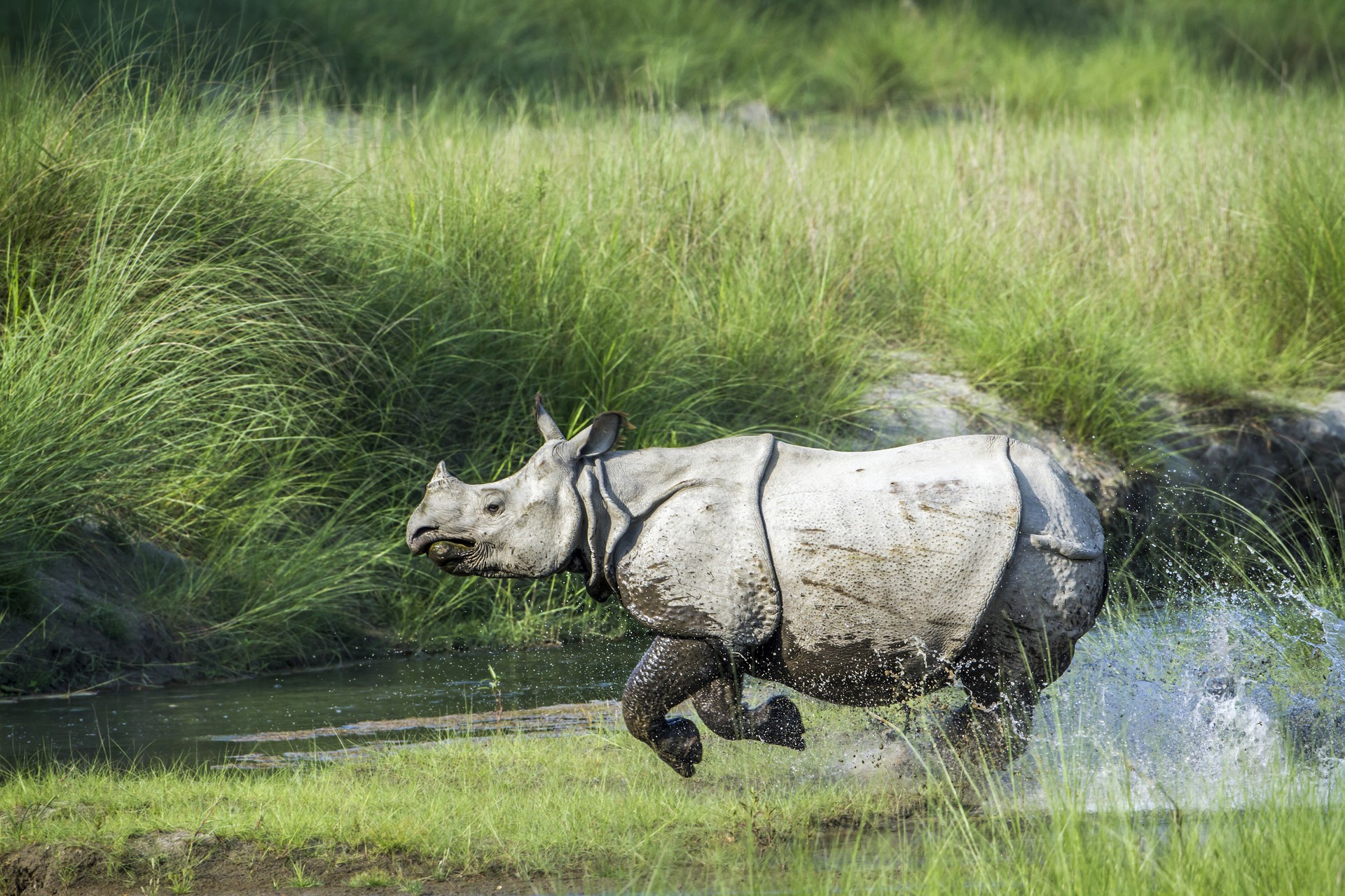 Asiatic rhino in nepal
