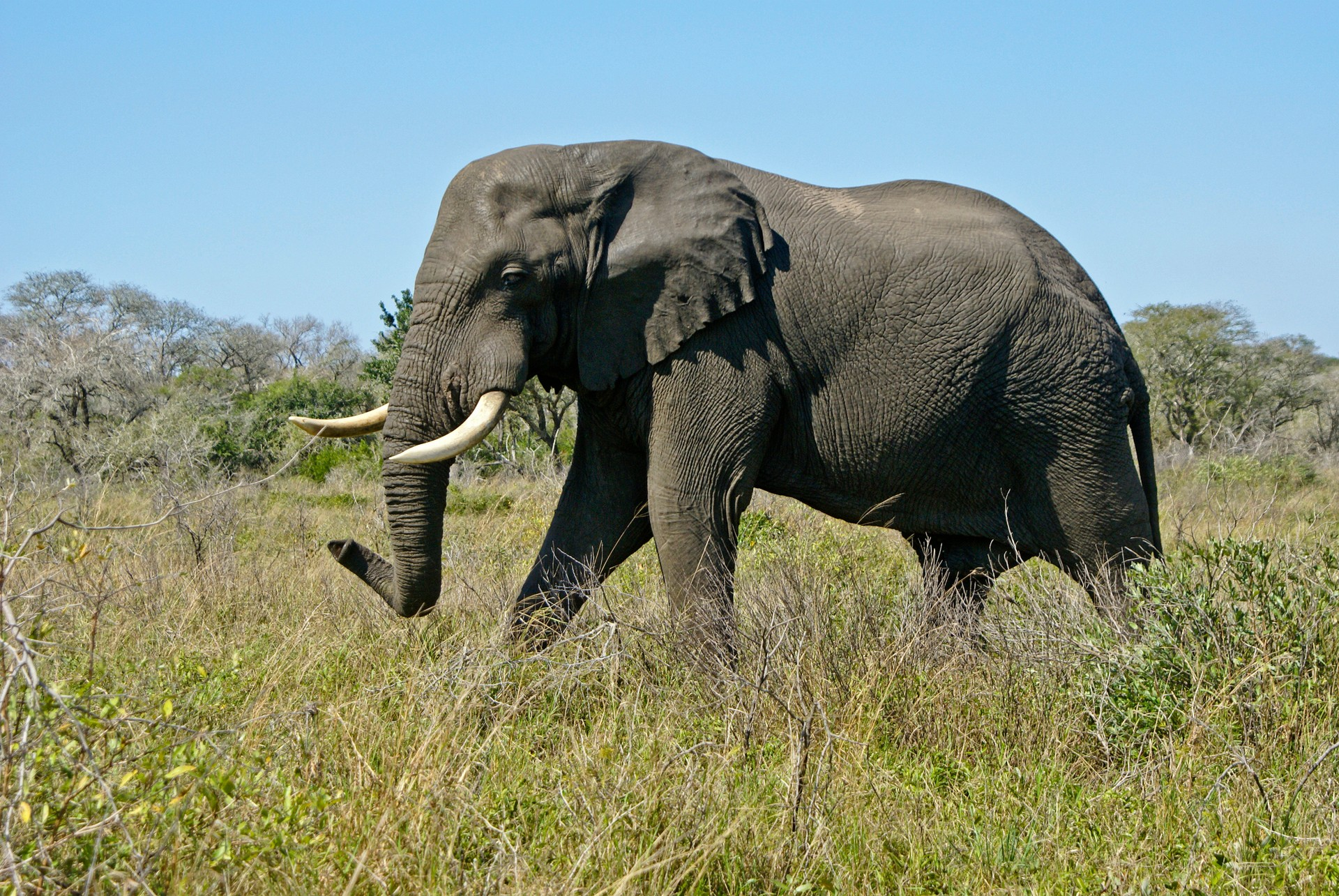Bull elephant in South Africa