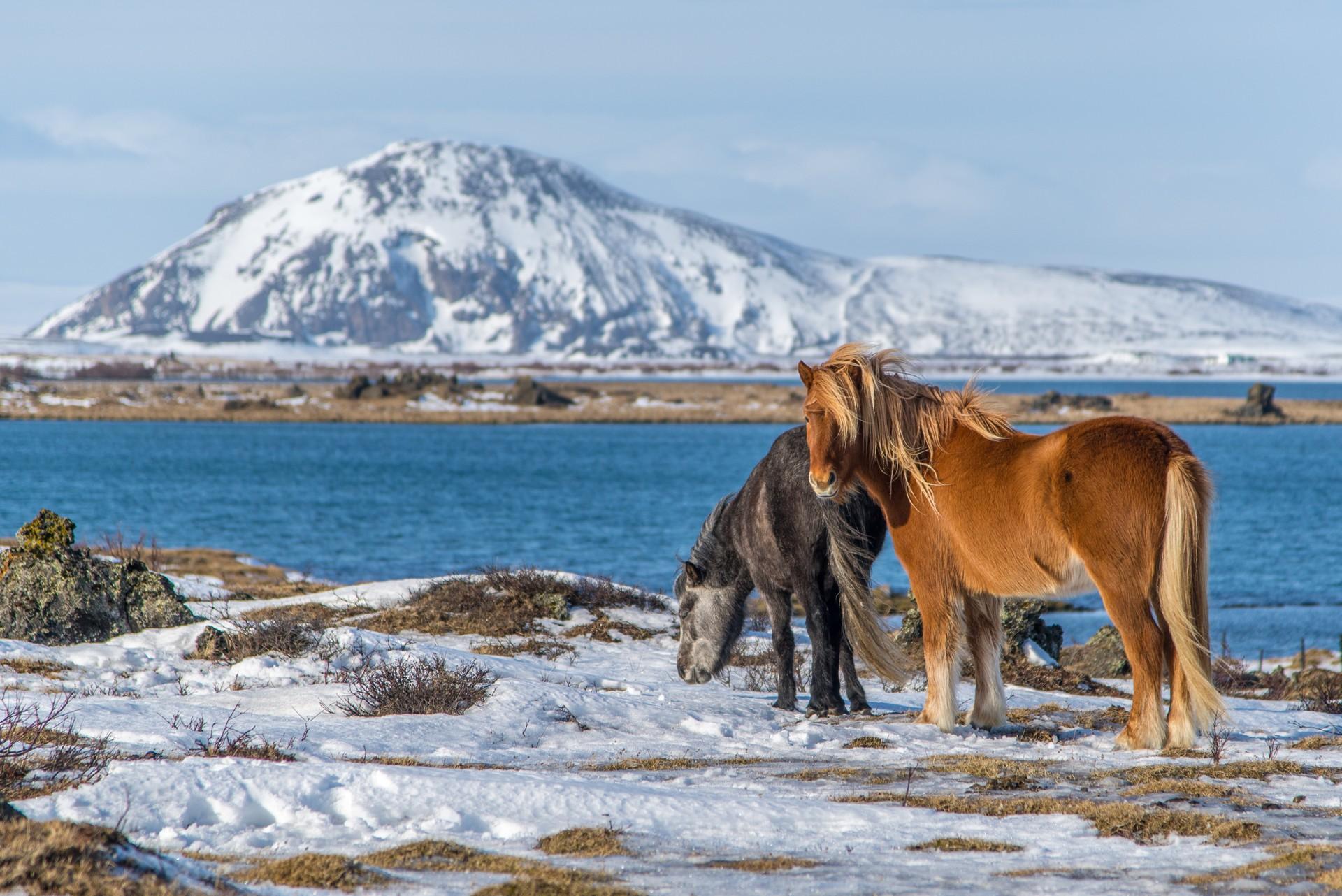 Icelandic horses by Lake Myvtan