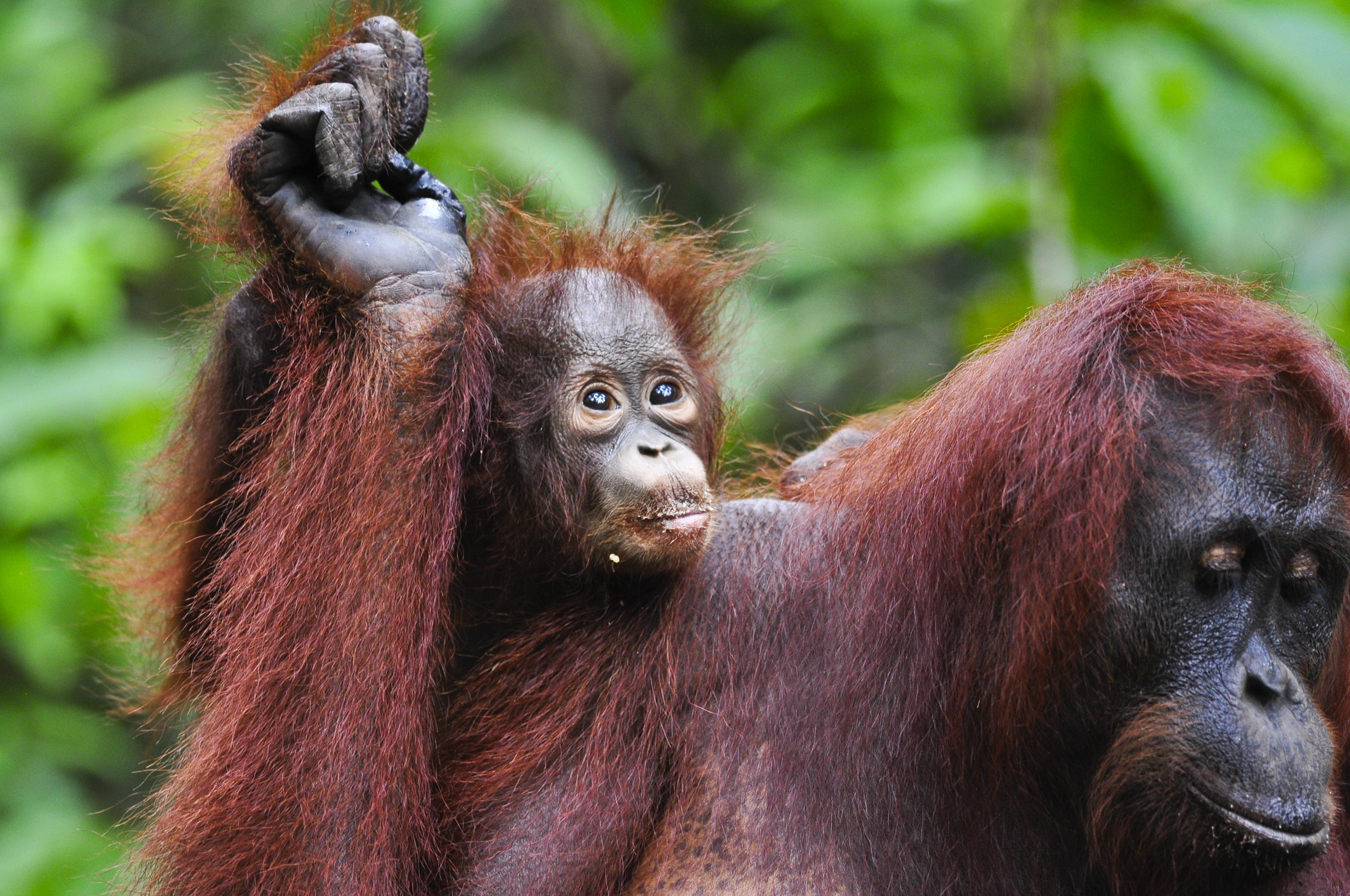 A baby orangutan on its mother's back in Tanjung Puting, Indonesia