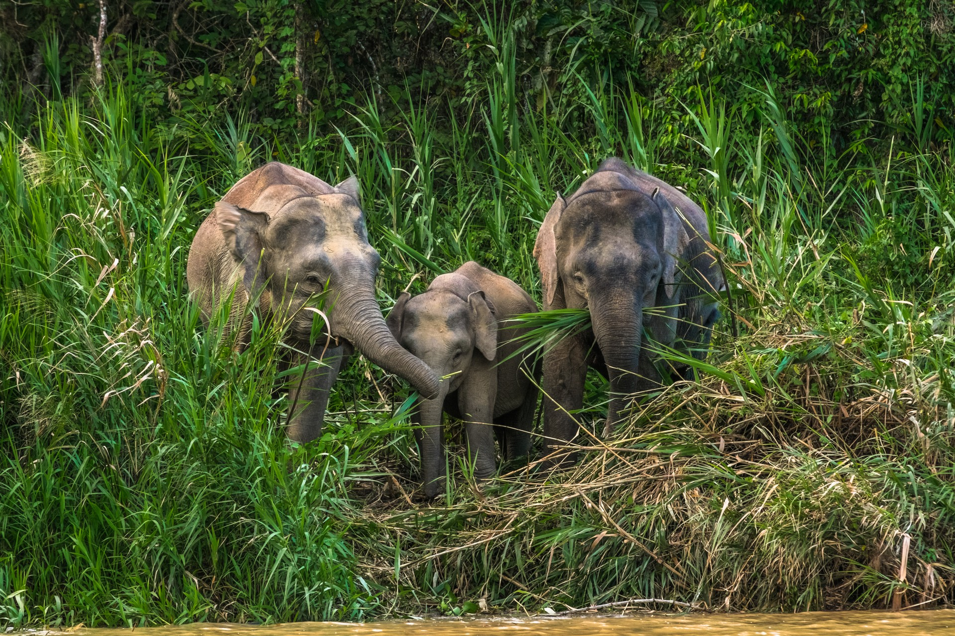 Borneo holidays: pygmy elephants on Kinabatangan River