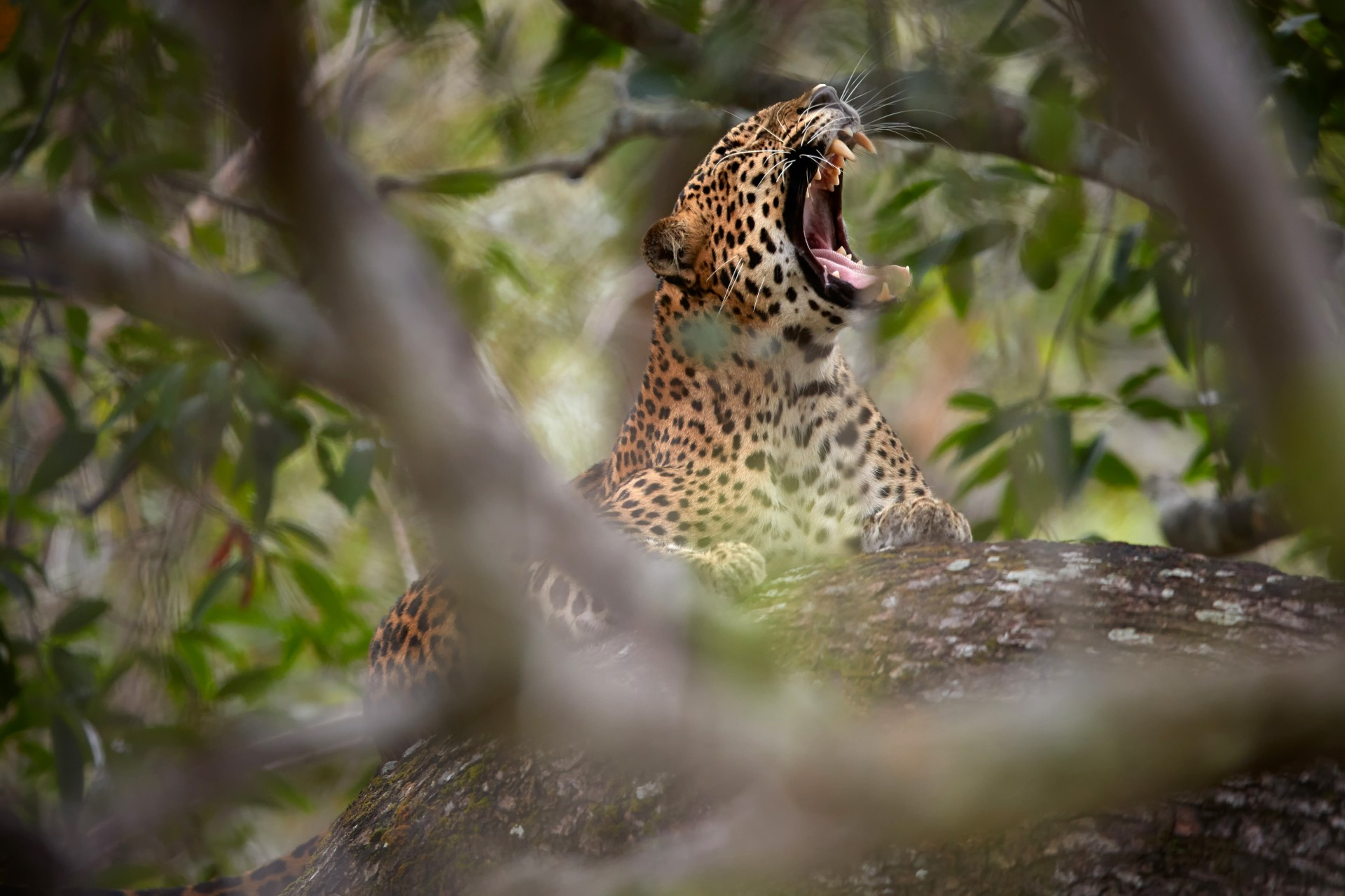 Leopard yawning in tree in Sri Lanka