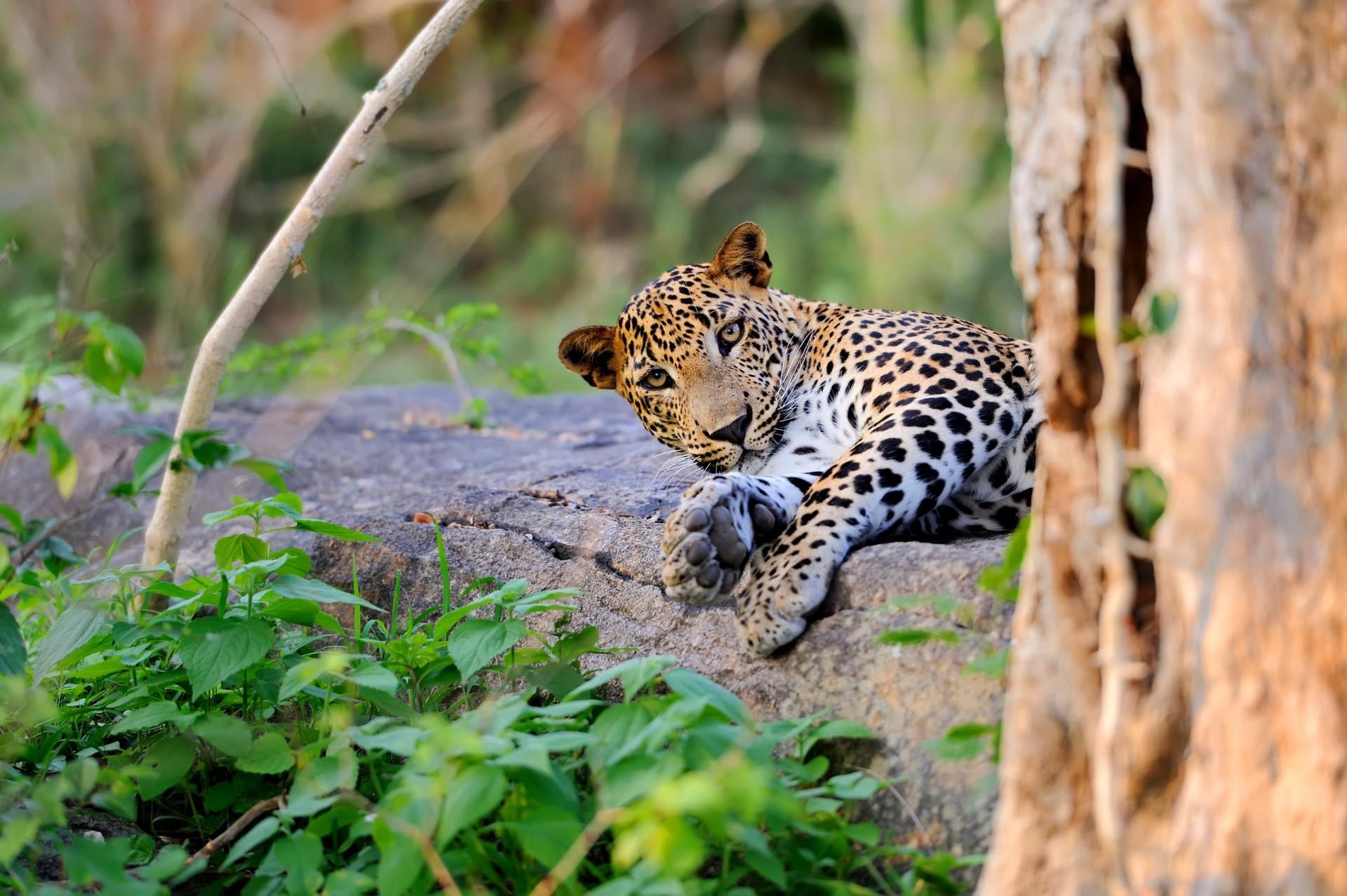 Leopard in Sri Lanka jungle