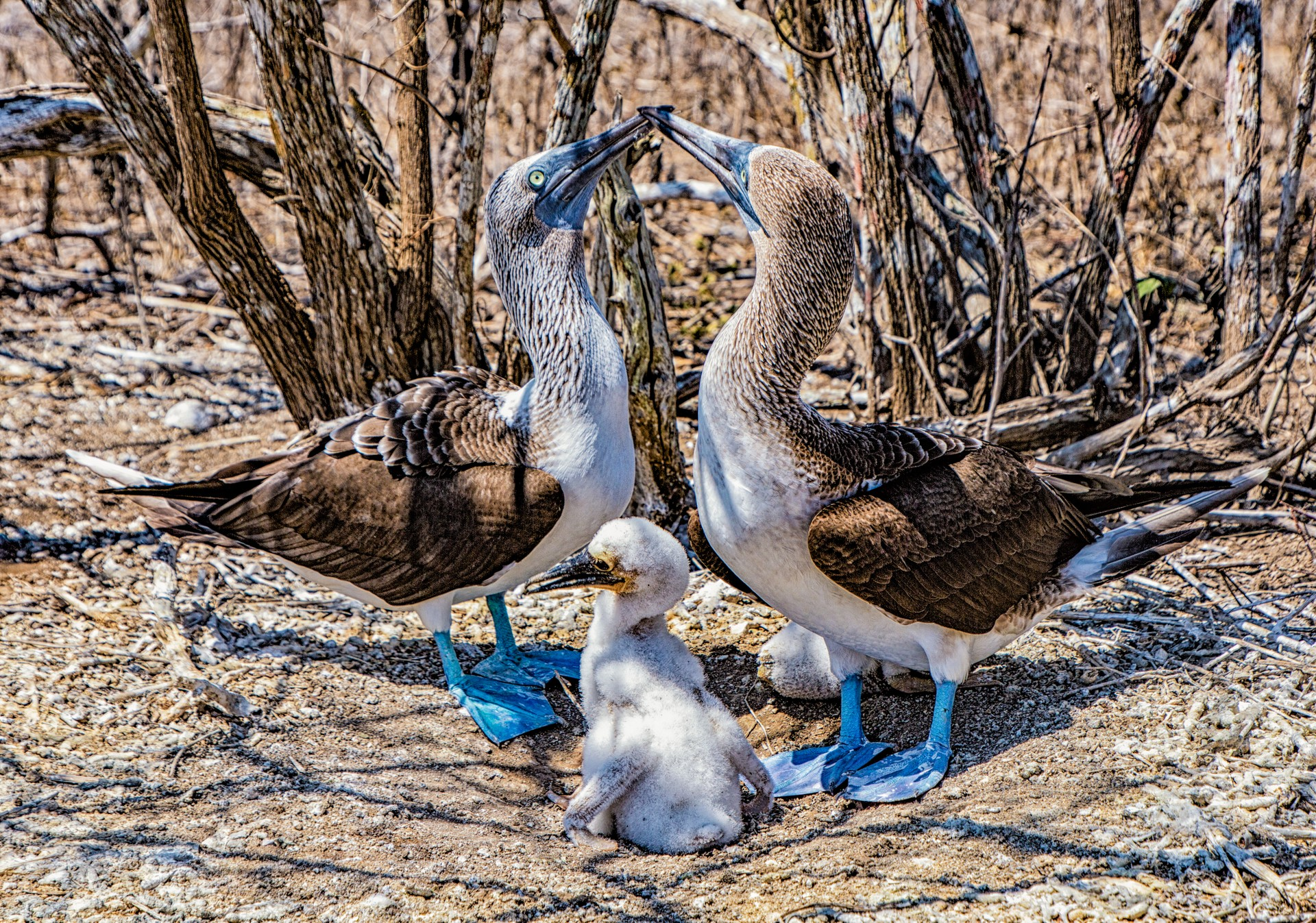 blue footed boobies with chick, galapagos